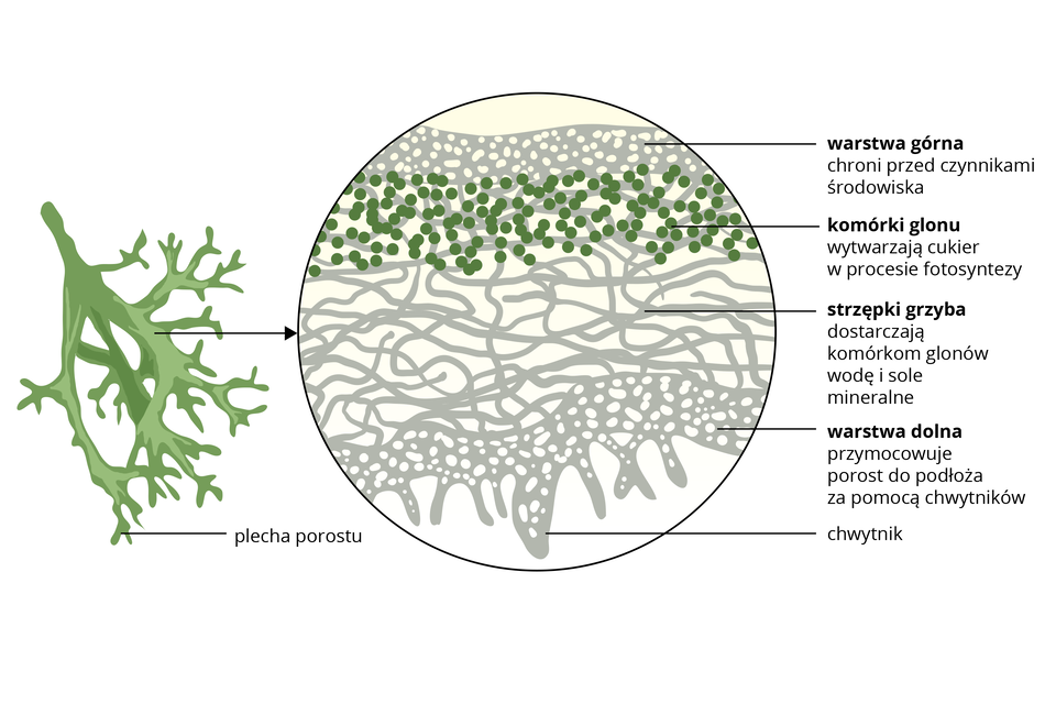 Ilustracja przedstawia od lewej szarozielony fragment plechy porostu krzaczkowatego, apo prawej powiększenie mikroskopowe przekroju przez plechę. Na przekroju zielone kulki oznaczają komórki glonu. Ich zadaniem jest fotosynteza. Kolor szary oznacza strzępki grzyba, które pełnią różne funkcje. Warstwa górna chroni przed czynnikami atmosferycznymi. Luźna warstwa środkowa dostarcza glonom wodę isole mineralne. Warstwa dolna tworzy chwytniki, mocujące porost wpodłożu.