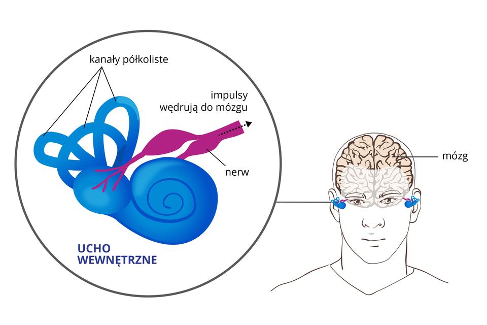 Ilustracja przedstawia wpowiększeniu ucho wewnętrzne. Obok głowa człowieka zwrysowanym mózgiem ilokalizacją ślimaka. Podpisano narząd równowagi: kanały półkoliste inerw, którym impulsy wędrują do mózgu.
