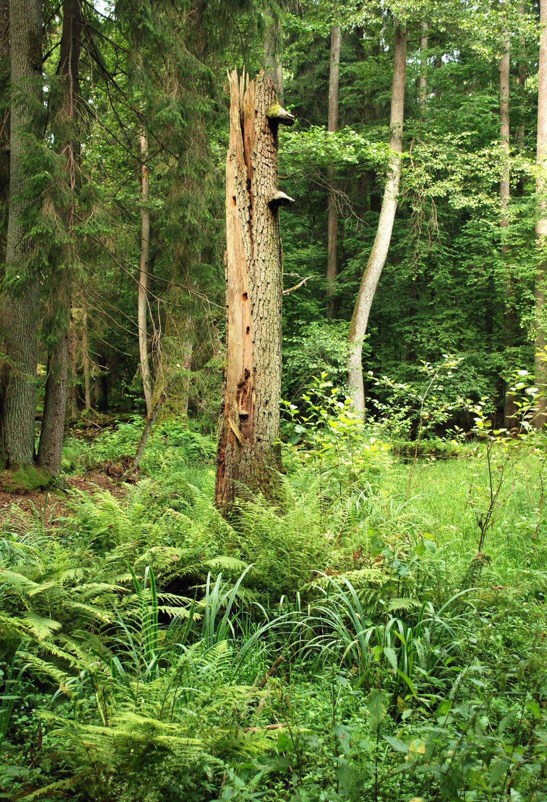 Fotografia przedstawia fragment lasu mieszanego. Rosną tu drzewa iglaste iliściaste. Niektóre są wygięte wkształt litery S. Na pierwszym planie znajdują się liczne kępy paproci. Między nimi znajdują się liście roślin winnym odcieniu zieleni. Paprocie rosną głównie pod pniem złamanego drzewa. Wjego korze są liczne otwory, ana pniu rosną huby.wilgociolubne