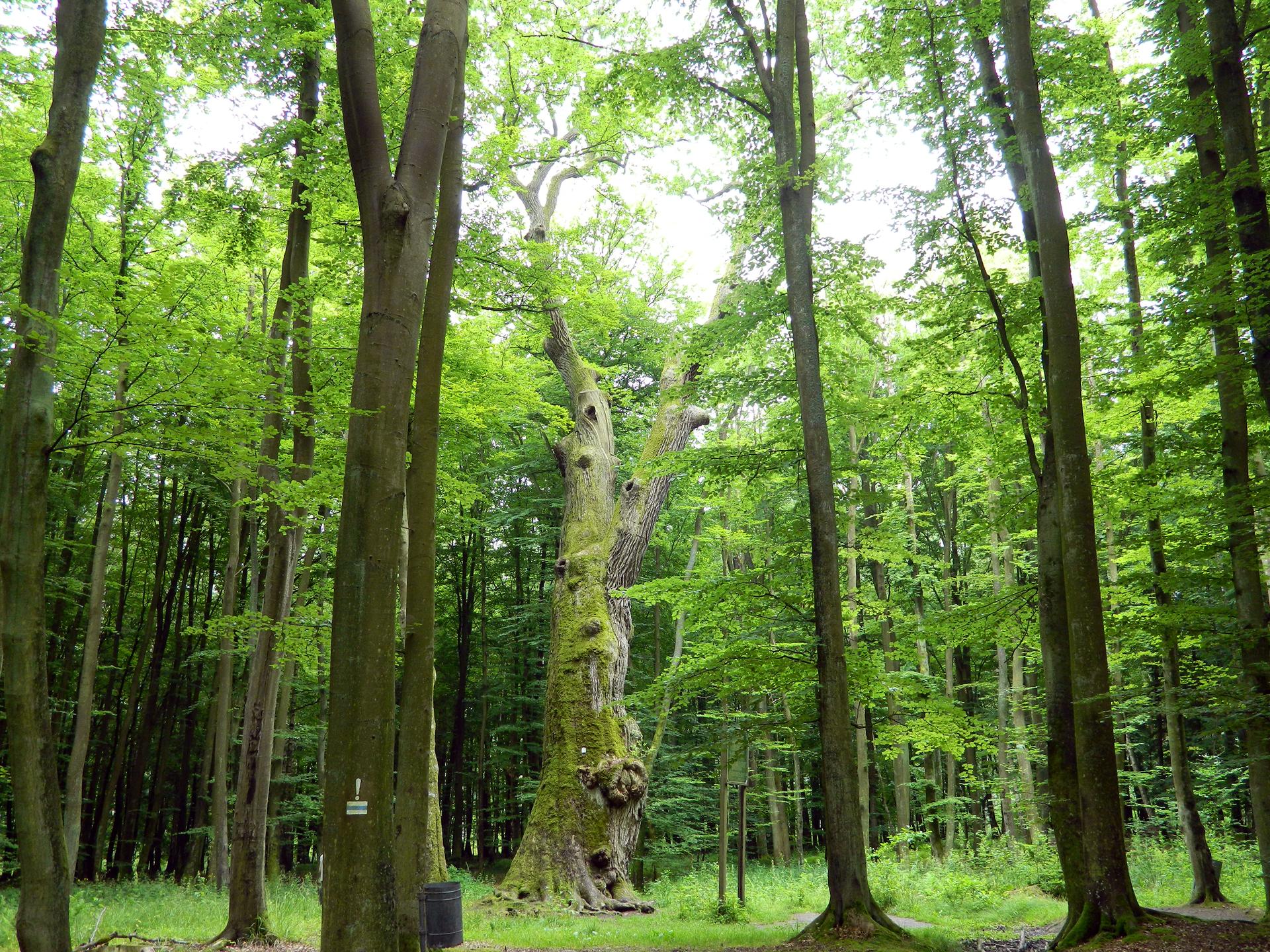 Fotografia prezentuje las liściasty. Wtle widoczny gruby pień dębu.