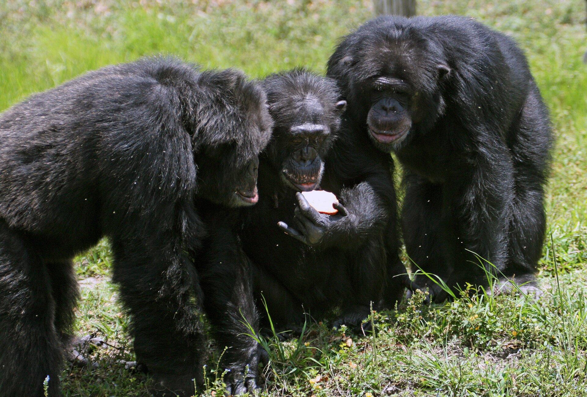 Szympansy Szympansy Źródło: Matthew Hoelscher Bakie, licencja: CC BY-SA 2.0.