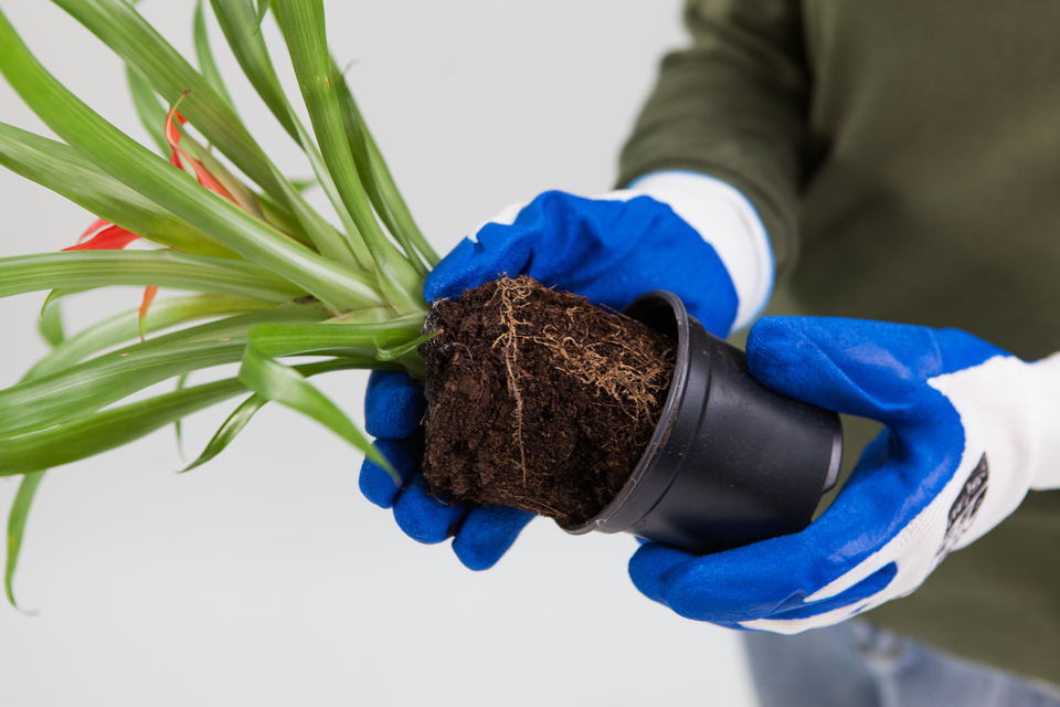 Slajd 3 – pokazano wyjętą roślinę zdoniczki, trzymaną przez demonstratora wrękawiczkach