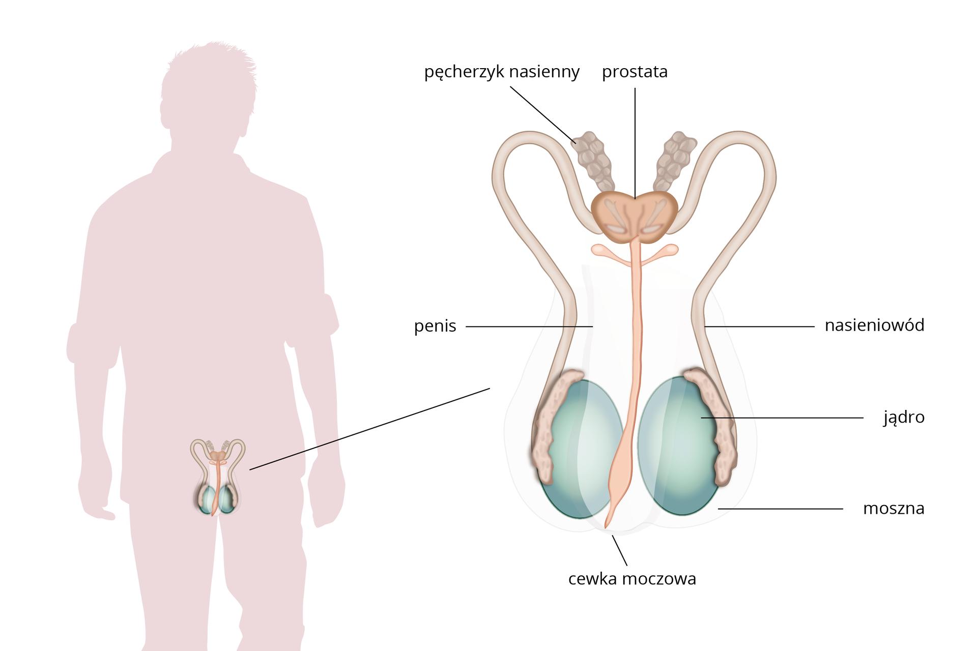 Schemat przedstawia budowę układu rozrodczego mężczyzny. Po lewej stronie sylwetka mężczyzny zukładem rozrodczym umieszczonym wobrębie miednicy. Po prawej stronie schemat układu rozrodczego zopisem. Kulistego kształtu parzyste jądra umieszczone wmosznie łączą się zdługimi przewodami – nasieniowodami. Następnie uchodzą do nich pęcherzyki nasienne. Nieparzysta prostata łączy się cewką moczową, która biegnie wobrębie prącia.