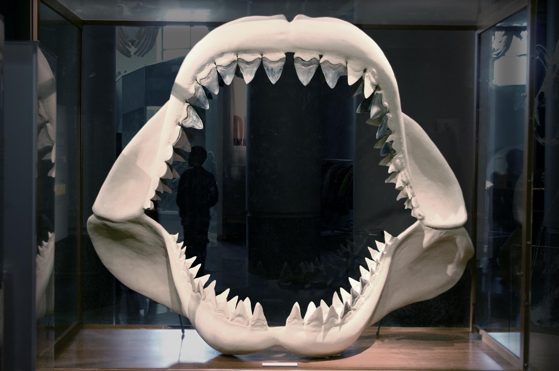 Fotografia przedstawia wypreparowane szczęki rekina pokryte kilkoma rzędami stożkowatych białych zębów.