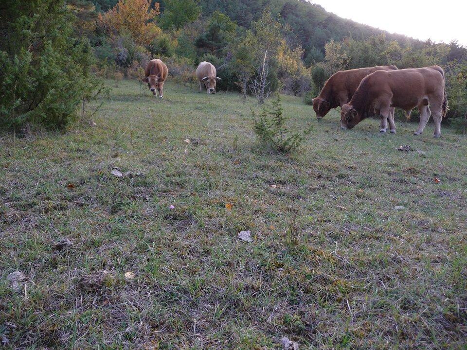 Na zdjęciu bydło pasące się na stoku. Wtle las.