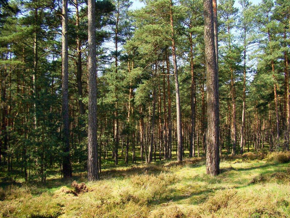 Na zdjęciu las iglasty.