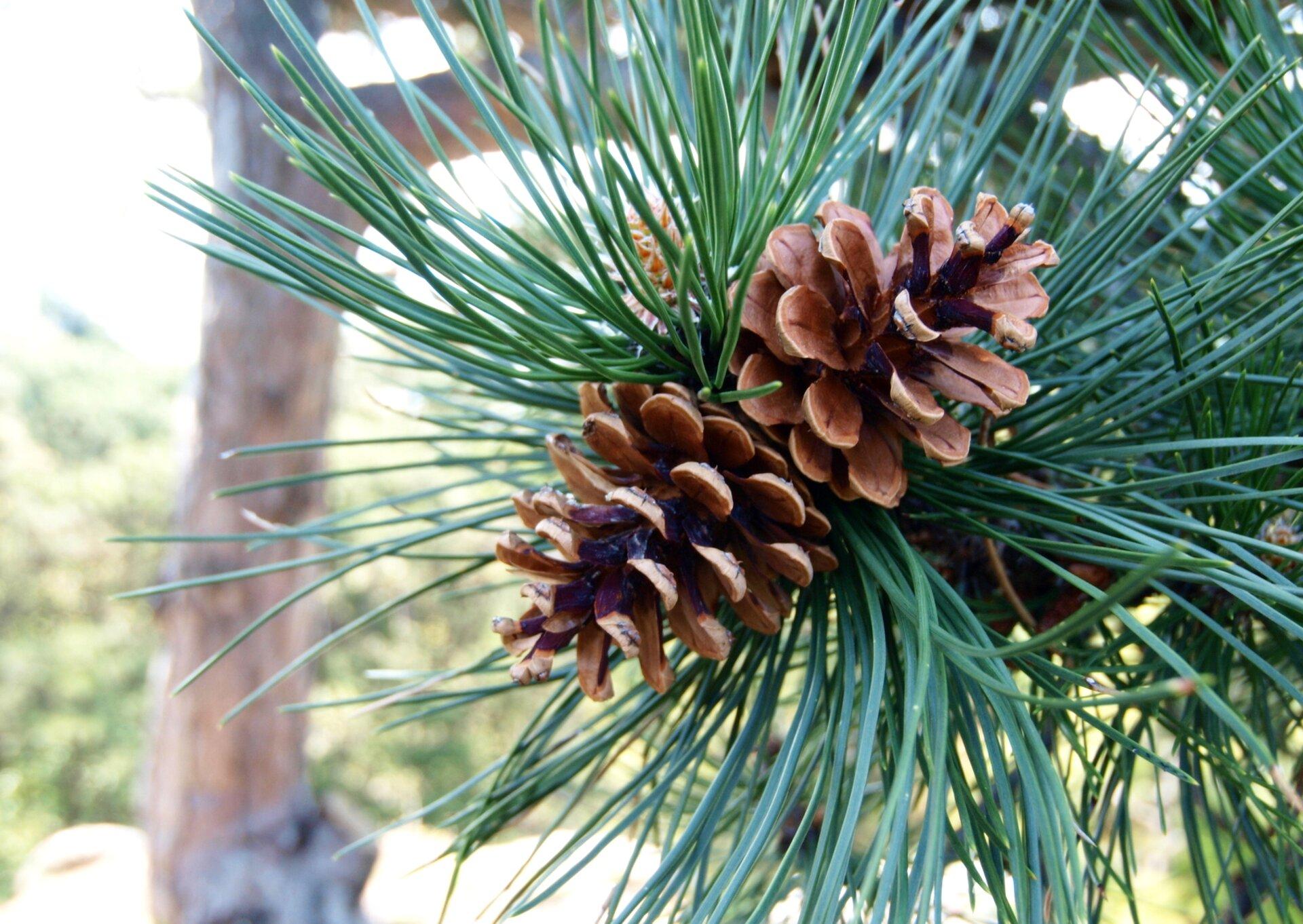 Fotografia przedstawia zbliżenie gałązki zbardzo długimi, niebieskawymi igłami idwoma brązowymi szyszkami. Wtle znajduje się pień drzewa. To sosna czarna.