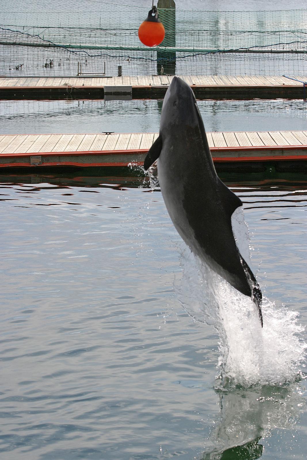 Fotografia przedstawia wyskakującego zwody morświna whodowli. Zwierzę ma smukłe grafitowe ciało. Usiłuje dosięgnąć czerwonej piłeczki, wiszącej nad zbiornikiem.