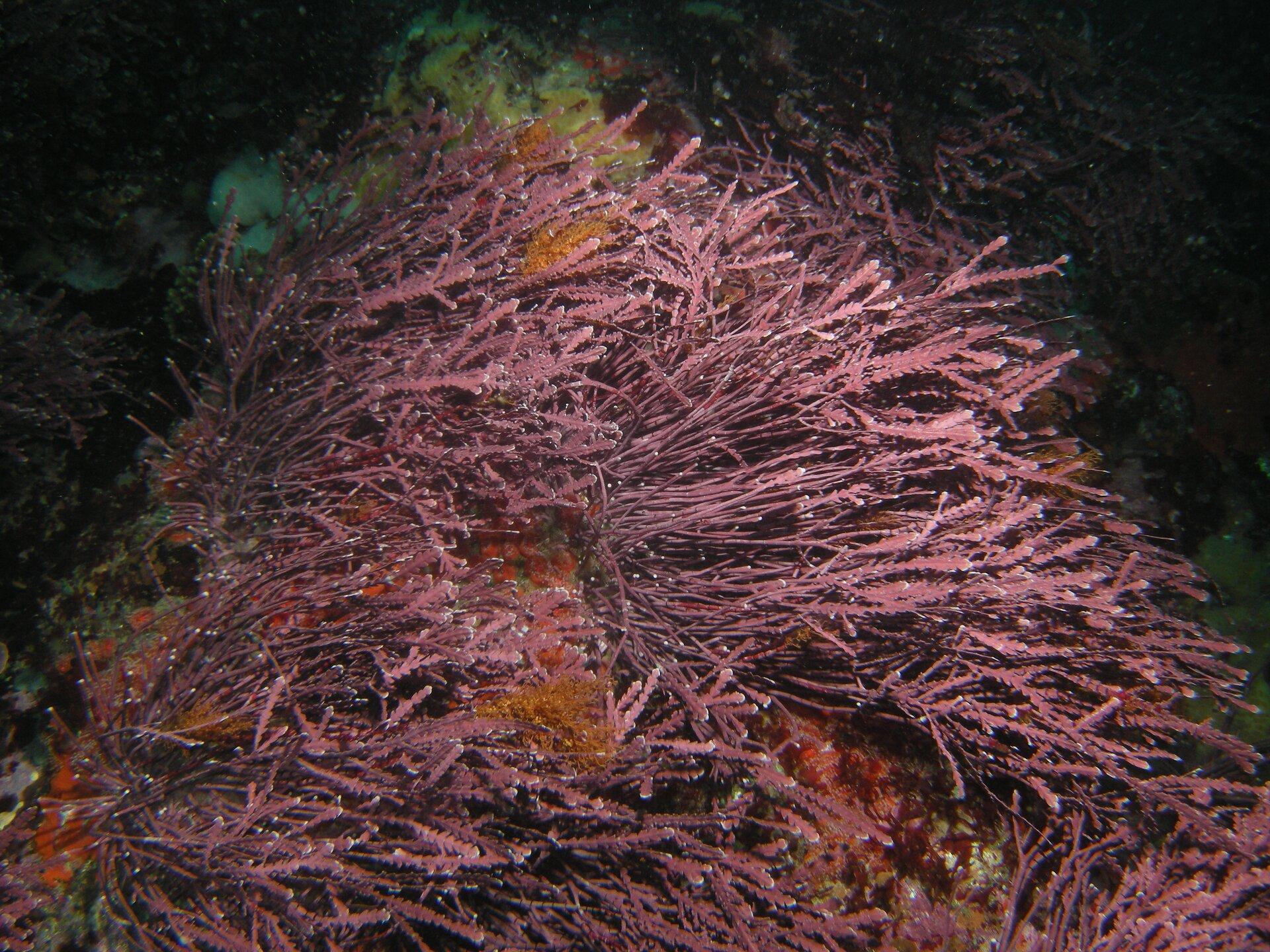 Fotografia siedliska krasnorostów, mającego postać podwodnej łąki