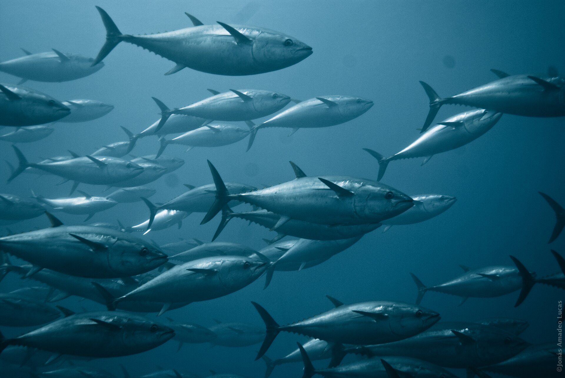 Fotografia podwodna przedstawia kilkanaście tuńczyków płynących ławicą wprawo. Są ciemnoszare na grzbiecie ijaśniejsze na brzuchu, zpołyskiem. Mają wrzecionowate ciała, wąskie płetwy ikolczaste wyrostki wtylne części grzbietu. Głowy duże, trójkątne; duże oczy.