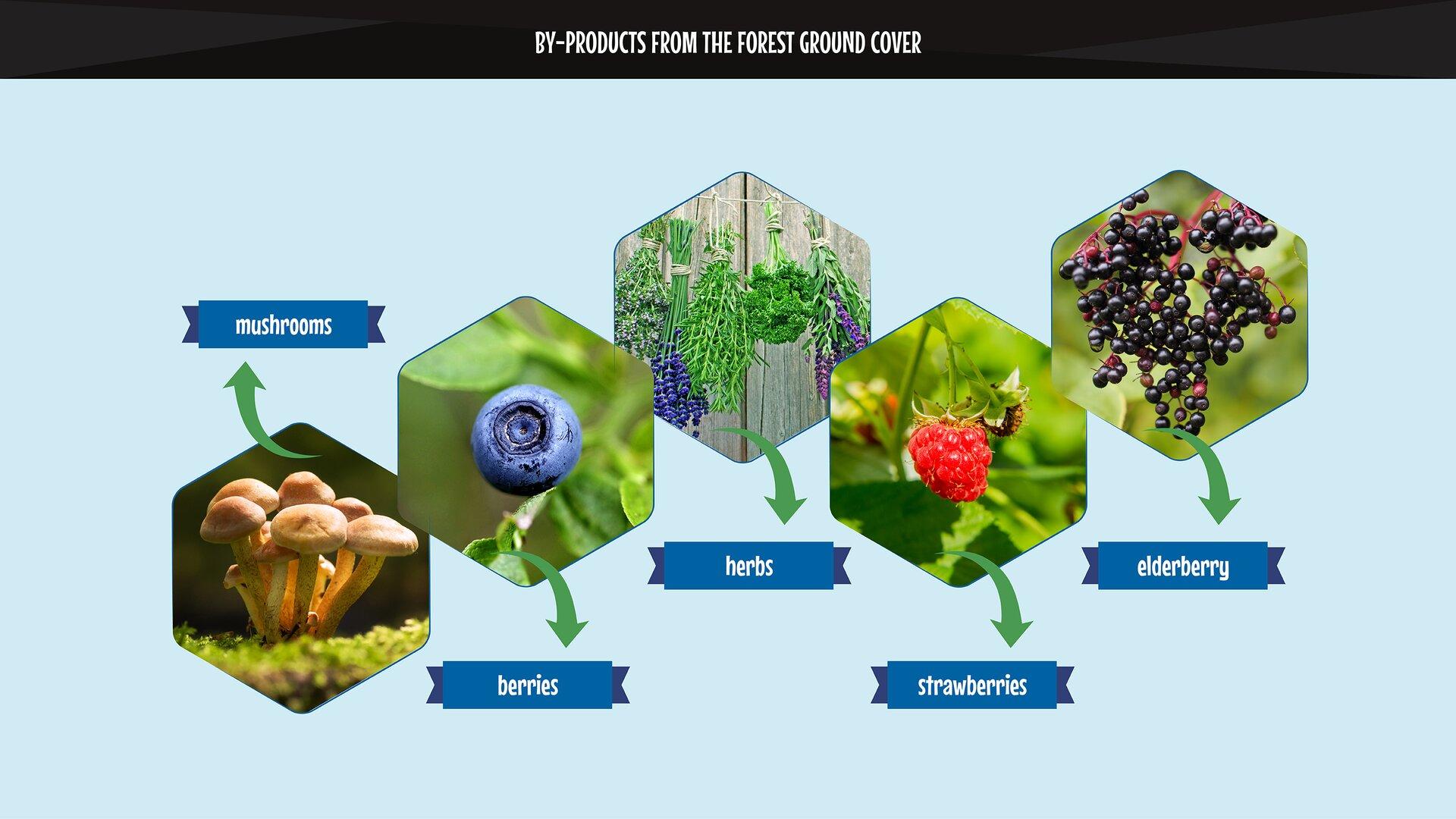 The photo presents by-products from the forest ground cover: mushrooms, herbs, berries, raspberries, elderberry. Grafika przedstawia użytki uboczne zruna leśnego - grzyby, zioła, jagody, maliny, dziki bez.