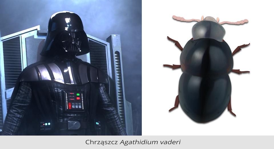 Druga para ilustracji. ilustracja po lewej stronie to lord Vader, bohater filmu Gwiezdne wojny. Postać ubrana wczarny kombinezon. Na ramionach czarne naramienniki sięgające do klatki piersiowej. Na klatce piersiowej zestaw kolorowych prostokątnych przełączników. Przełączniki umieszczone wkwadratowej metalowej obudowie. Rozmiary kwadratowej obudowy to około dziesięć na dziesięć centymetrów. Na głowie czarny hełm. Górna część hełmu wkształcie dużej kopuły. Górna część hełmu zakończona jest wpołowie dziesięciocentymetrowym otokiem. Krawędź otoka hełmu kończy się na równi zkością żuchwy. Twarz zakryta. Ilustracja po prawej to czarny chrząszcz. Chrząszcz składa się ztrzech owalnych części. Głowa, tułów iodwłok. Na głowie dwa czułki. Po każdej stronie trzy odnóża. Dwie pary odnóży po obu stronach tułowia. Jedna para odnóży po obu stronach odwłoku. Powierzchnia ciała chrząszcza przypomina kształtem ibarwą sylwetkę Vadera.