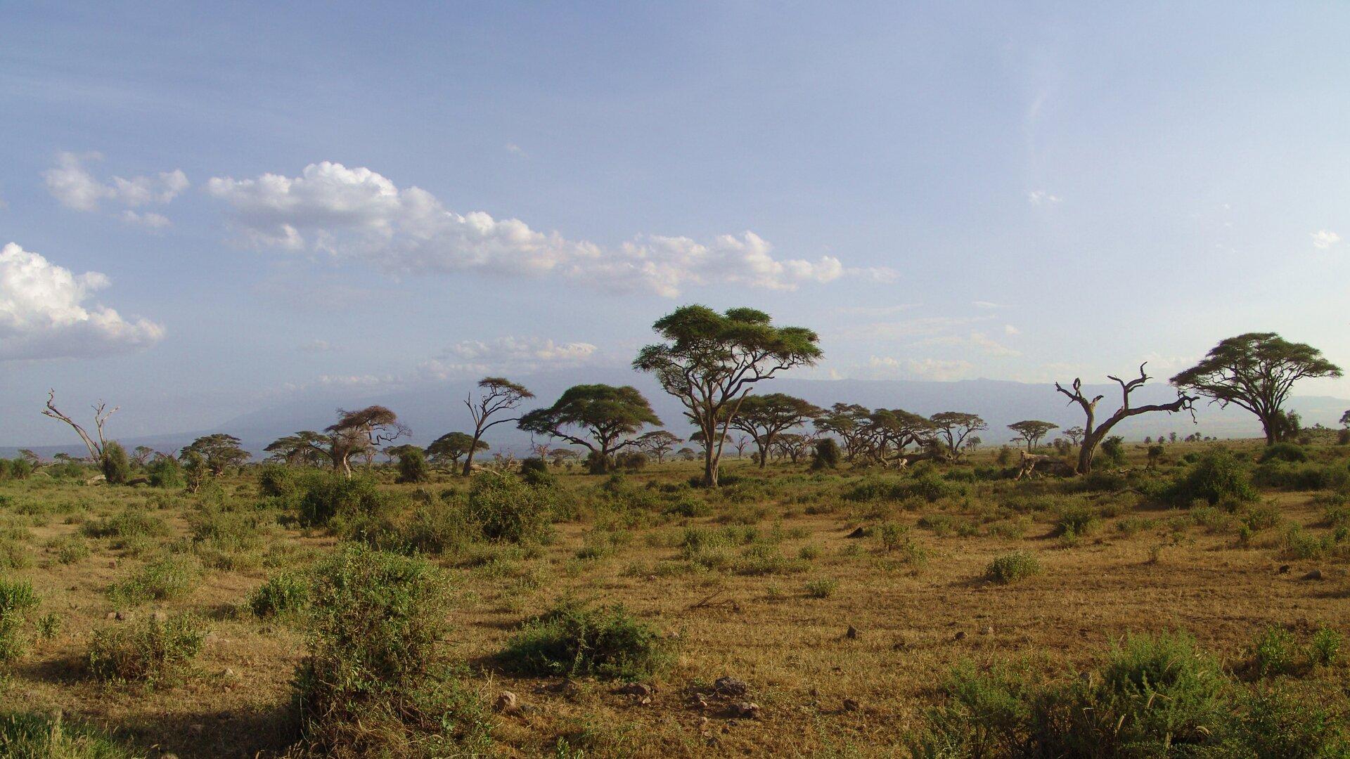 Fotografia przedstawia rozległy krajobraz sawanny wporze suchej. Na żółtej ziemi rosną nieliczne kępy traw, amiędzy nimi zrzadka akacje – drzewa owąskich pniach ikoronie wkształcie parasola.
