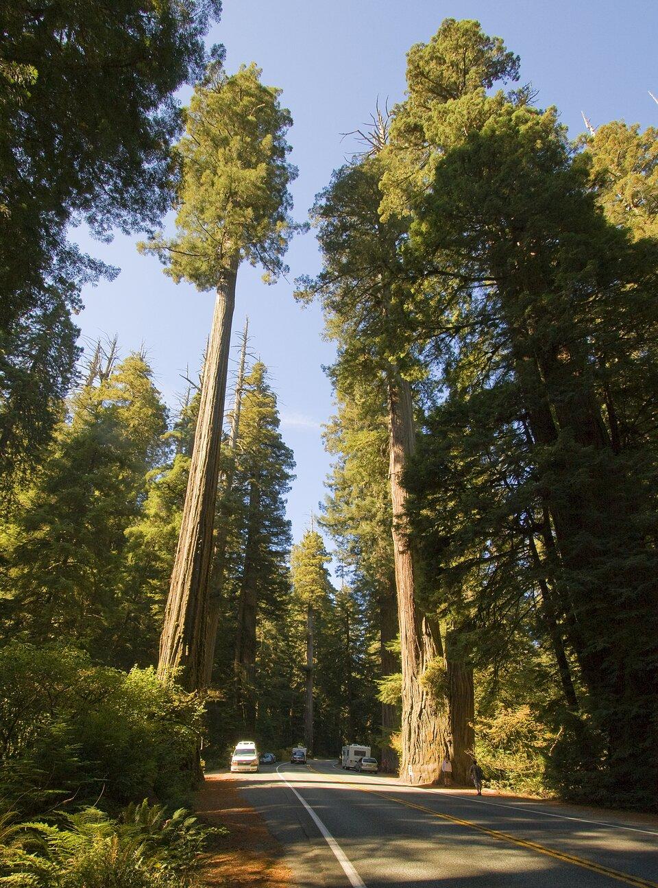 Fotografia przedstawia szosę, na poboczu której rosną wysokie drzewa, sekwoje wiecznie zielone. Są grube ibardzo wysokie wporównaniu zsamochodem na szosie. Obok imiędzy nimi rosną krzewy ipaprocie. Sekwoje rosną tylko na wschodnim wybrzeżu Stanów Zjednoczonych.