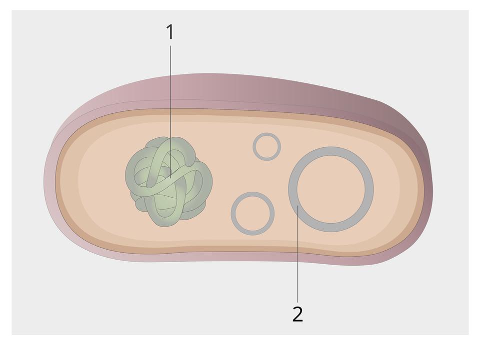 Ilustracja przestawia rysunek przekroju przez komórkę bakterii wkolorze liliowym. Wewnątrz komórki ukazano dwie szare struktury. Ta zlewej jest mocno zwinięta isymbolizuje tak zwany chromosom bakterii. Zprawej przedstawiono koła różnej wielkości, oznaczające DNA plazmidowe.