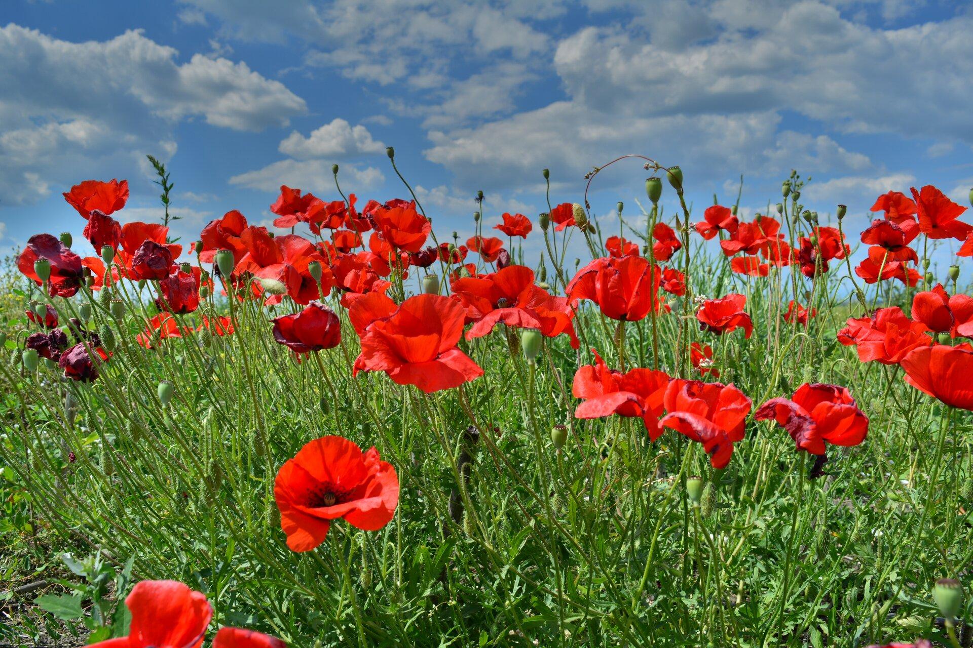 Fotografia przedstawia kilkanaście czerwonych maków. Mają duże, delikatne płatki iczarne środki. Wznoszą się na cienkich łodyżkach. Między nimi kłosy traw ikwitnące niebiesko chabry.