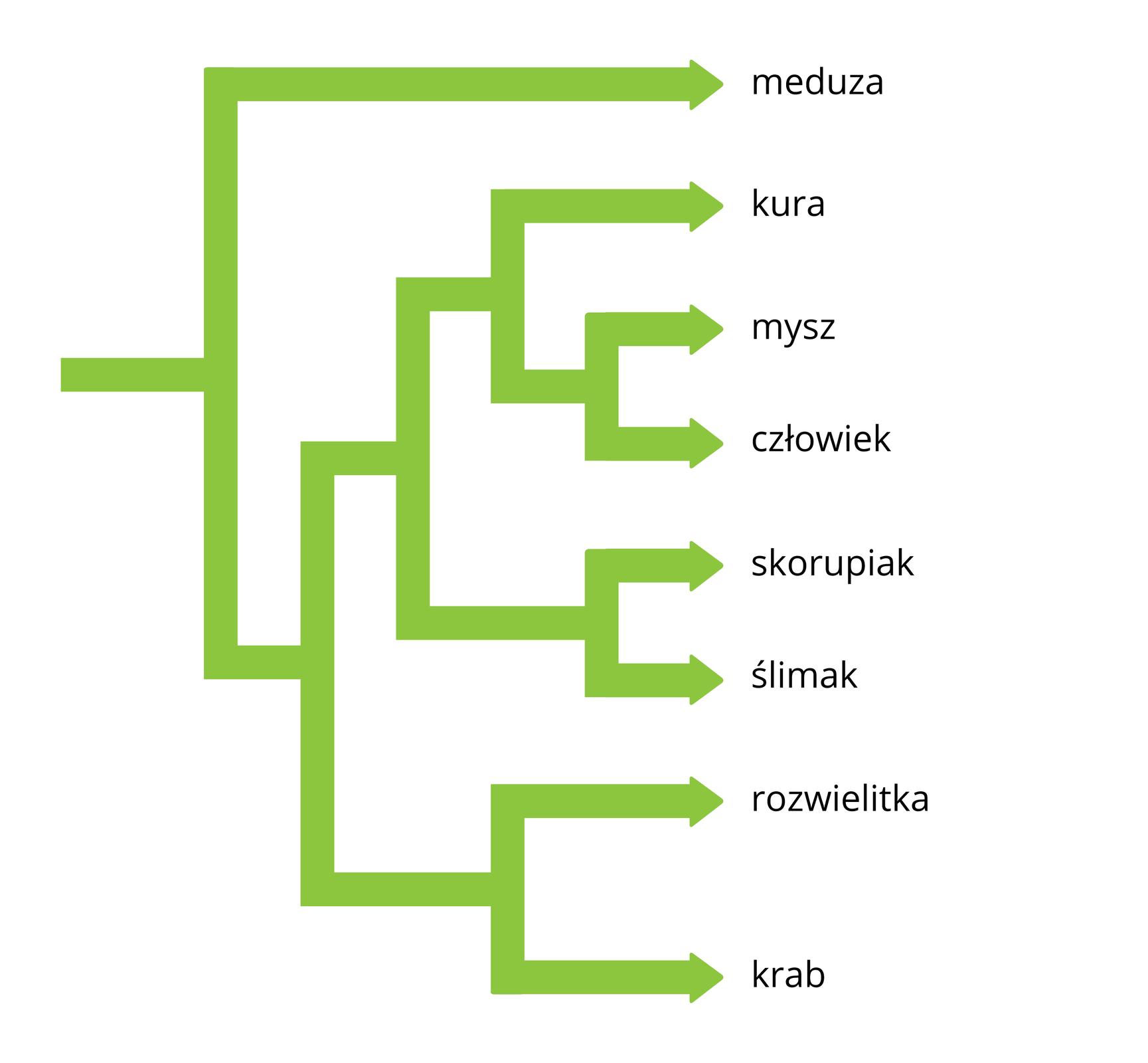 Schemat przedstawia zielone strzałki, które łączą się lub wynikają jedna zdrugiej. Po prawej za poszczególnymi strzałkami znajdują się nazwy rodzajowe. Strzałki oznaczają pokrewieństwo pomiędzy organizmami, ustalone na podstawie porównania białka, budującego ich receptor jądrowy.