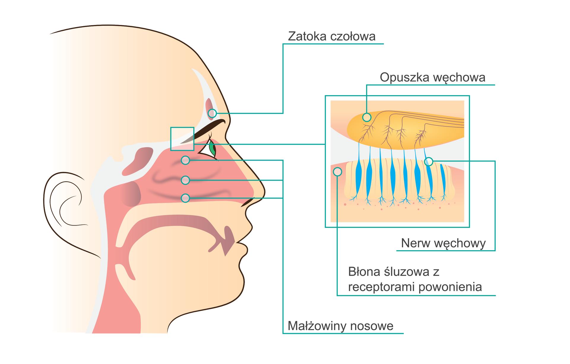 Ilustracja przedstawia opis ludzkiego narządu węchu. Po lewej stronie obrazka znajduje się twarz ludzka widoczna wprofilu zzaznaczonymi drogami oddechowymi oraz zatokami. Wyróżnionymi elementami jest zatoka czołowa, znajdująca się nad brwiami, trzy małżowiny nosowe wjamie nosowej oraz nabłonek węchowy wgórnej części tej samej jamy. Po prawej stronie ilustracji znajduje się zbliżenie idokładny opis budowy nabłonka nosowego zuwzględnieniem trzech elementów: opuszki węchowej ugóry oraz błony śluzowej zreceptorami powonienia inerwu węchowego udołu.