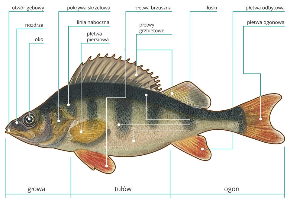 Ilustracja przedstawia rysunek okonia zgłową wlewo, zpodpisami poszczególnych części. Ryba jest ciemnoszara na grzbiecie zpięcioma pasami tej barwy wdół. Na brzuchu różowoszara. Od lewej wskazane kolejno: żółty otwór gębowy, nozdrza iczarno – białe oko. Łukowata, żółtawa pokrywa skrzelowa, linia naboczna ipłetwa piersiowa. Udołu czerwonawe: owalna płetwa brzuszna, nieregularna płetwa odbytowa iwcięta zprawej płetwa ogonowa. Ugóry dwie płetwy grzbietowe: przednia wyższa, kolczasta, zzaznaczonymi kośćmi. Druga niższa, czworokątna, barwna. Na ciele ryby wtrzech miejscach zaznaczone dachówkowate łuski.