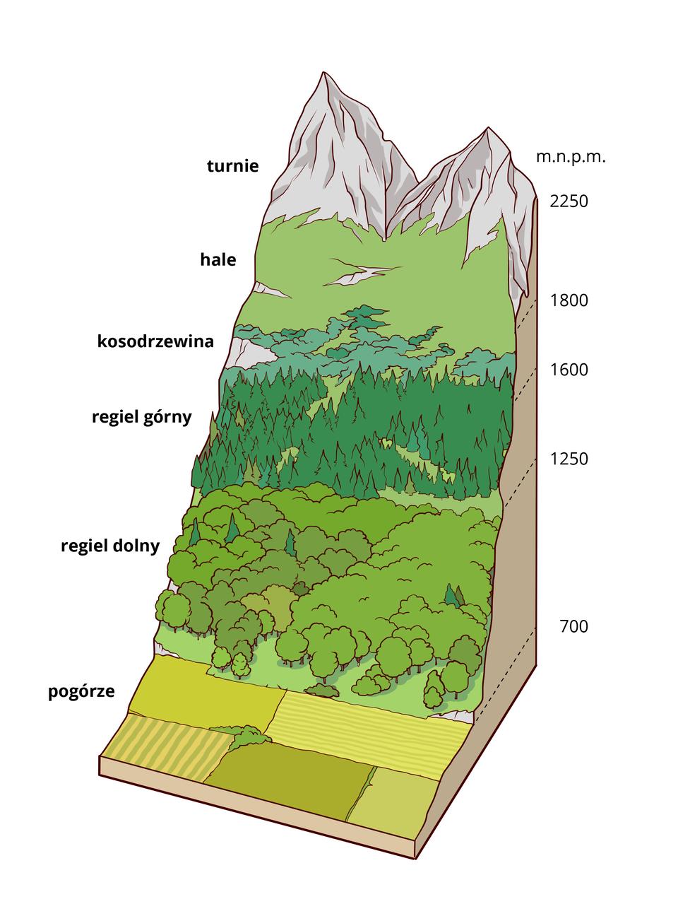 Ilustracja prezentuje układ pięter roślinności wgórach. Upodnóża gór poniżej 700 mznajduje się piętro pogórza zpolami iłąkami. Na wysokości od 700 do 1250 mjest regiel dolny zlasami mieszanymi. Na wysokości 1250 do 1600 mjest regiel górny zlasami iglastymi. Na wysokości 1600 do 1800 mznajduje się piętro kosodrzewiny. Pomiędzy wysokością 1800 a2250 mjest piętro hal złąkami. Powyżej 2250 mznajduj się piętro turni znagimi skałami iszczytami.