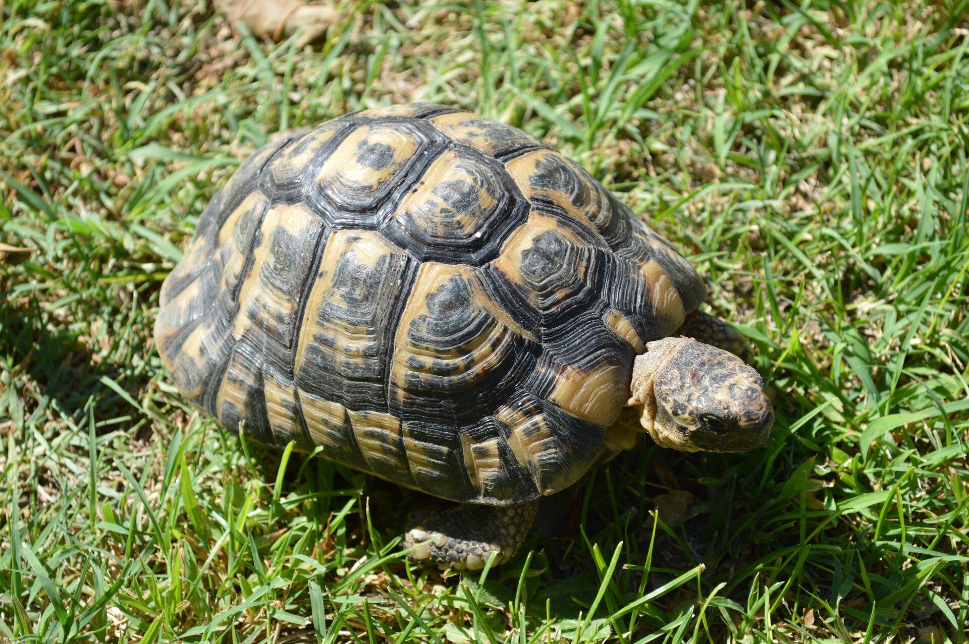 Fotografia wykonana zgóry prezentuje żółwia greckiego. Ciało żółwia okrywa oliwkowo brązowa skorupa pokryta regularnymi tarczkami. Na środku każdej tarczki widnieje czarna plama. Spod skorupy wystaje niewielka głowa.