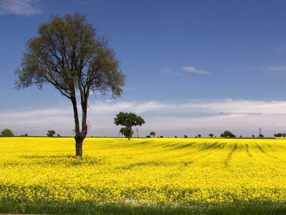 Fotografia przedstawia pole kwitnącego na żółto rzepaku. Rosną na nim również zielono – brązowe drzewa. Drzewa irośliny zielne dominują wśród organizmów samożywnych.