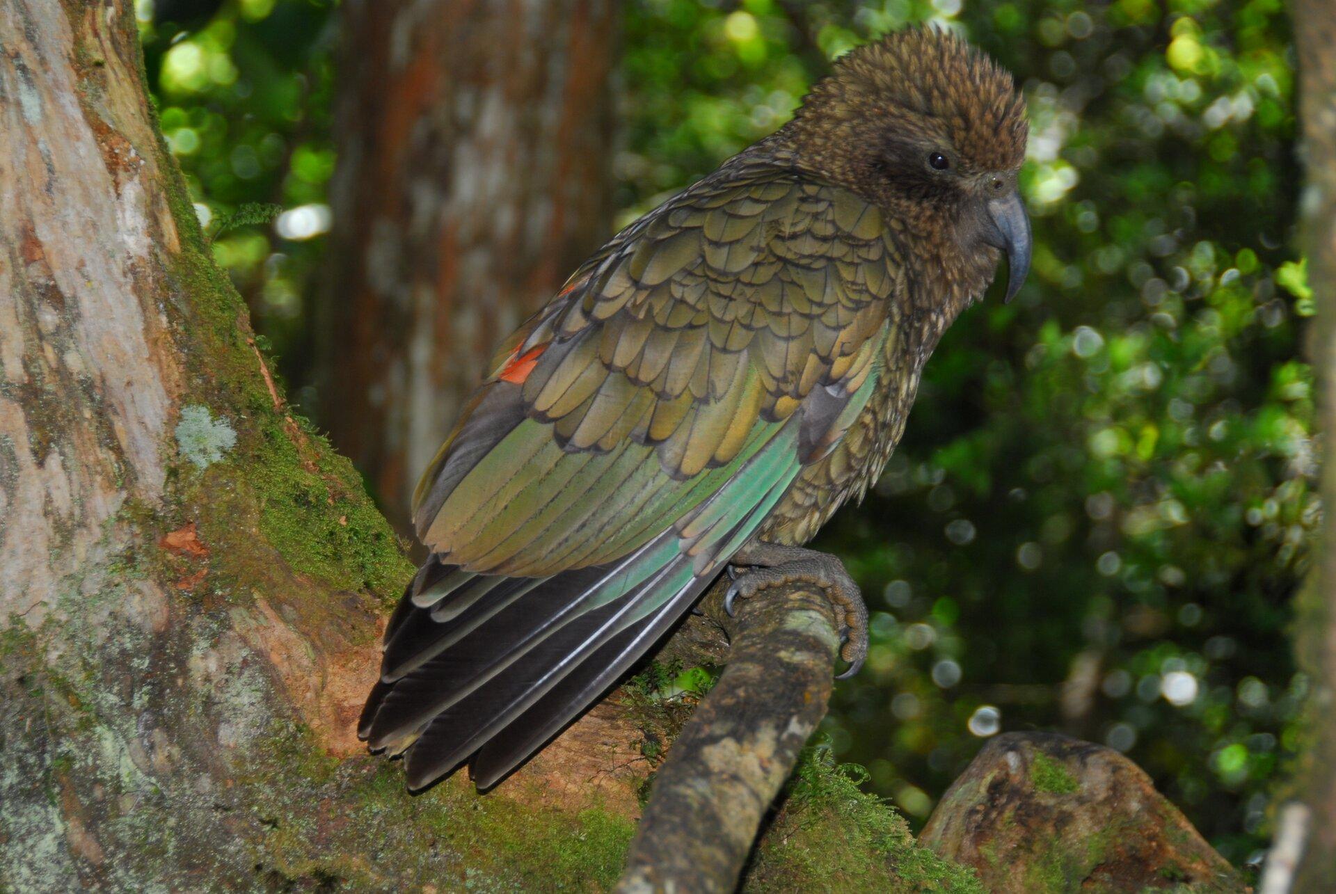 Fotografia przedstawia oliwkowoczarną papugę wtropikalnym lesie. Nestor kea siedzi na lianie skierowany wprawo. Na głowie ma nastroszone krótkie pióra izakrzywiony, grafitowy dziób.