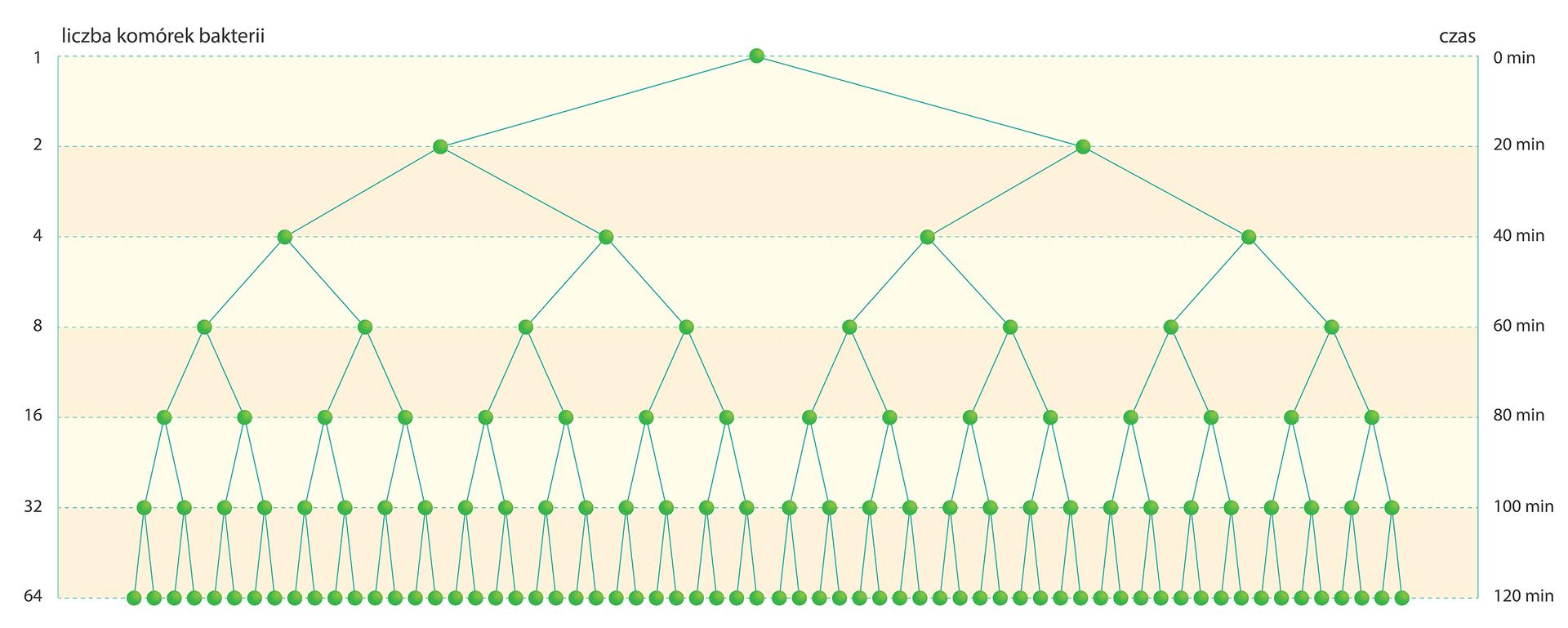 IIlustracja przedstawia schemat na różowym tle. Lewa strona jest podpisana: liczba komórek bakterii ima podziałkę logarytmiczną od 1 do 64. Prawa strona jest opisana jako czas, od zera do stu dwudziestu minut. Na schemacie zielone punkty oznaczają bakterie, aniebieskie kreski symbolizują ich podział na dwie komórki potomne. Schemat odczytujemy od góry wdół.