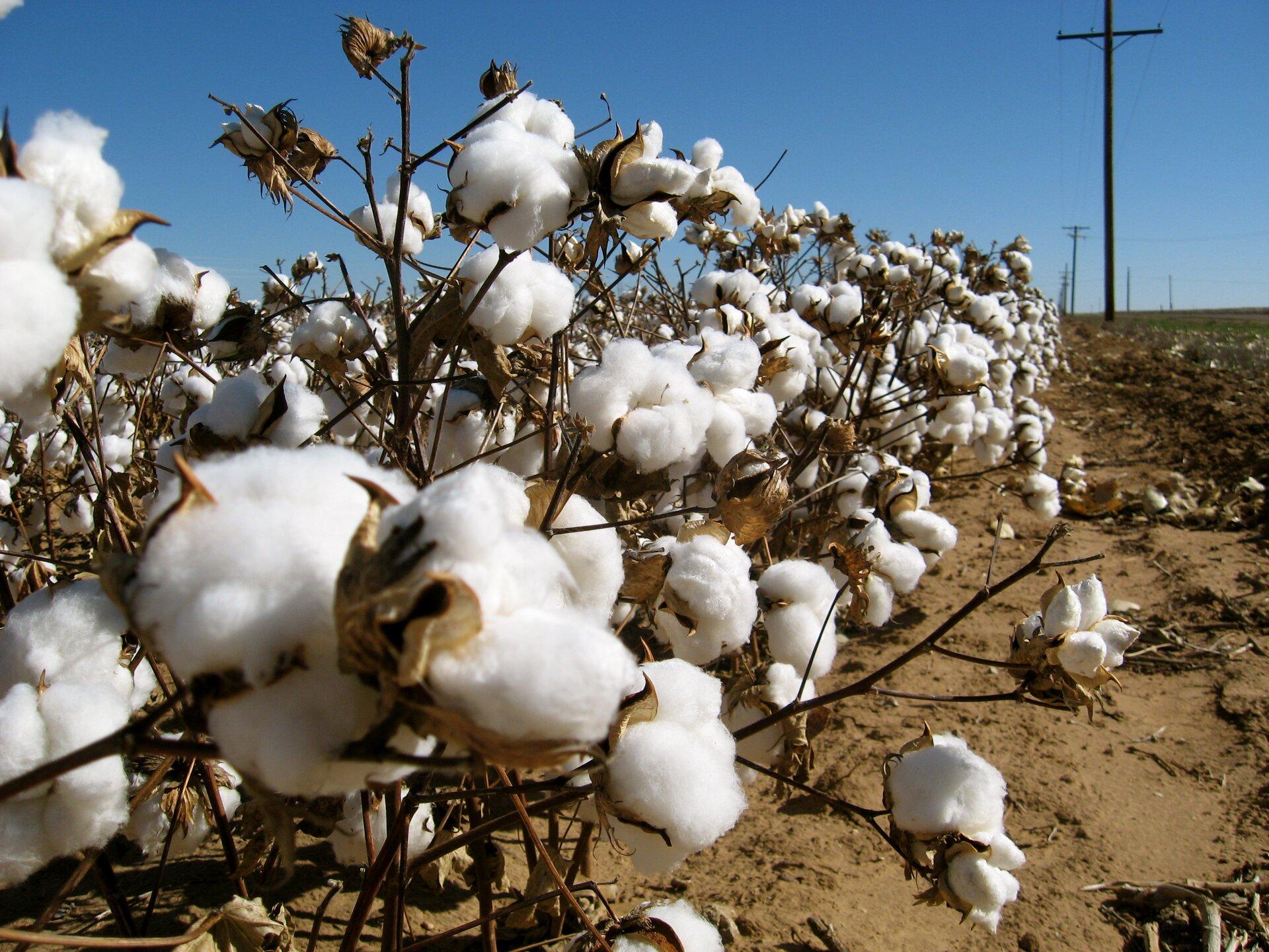 Na zdjęciu plantacja bawełny, na pierwszym planie zbliżenie na włókna bawełny. Puszyste białe kulki waty na brązowych gałązkach. Wtle słupy wysokiego napięcia ipola.