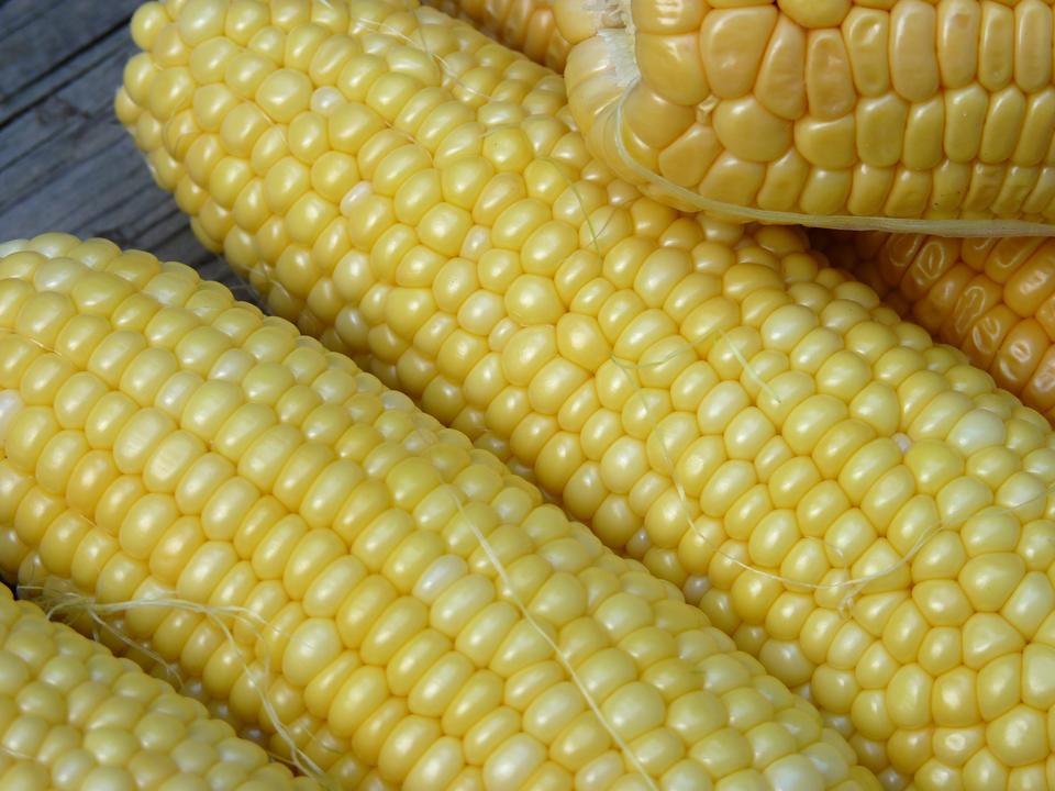 Fotografia przedstawia wdużym zbliżeniu żółte kolby kukurydzy. Jest to genetycznie zmodyfikowana odmiana MON 810.