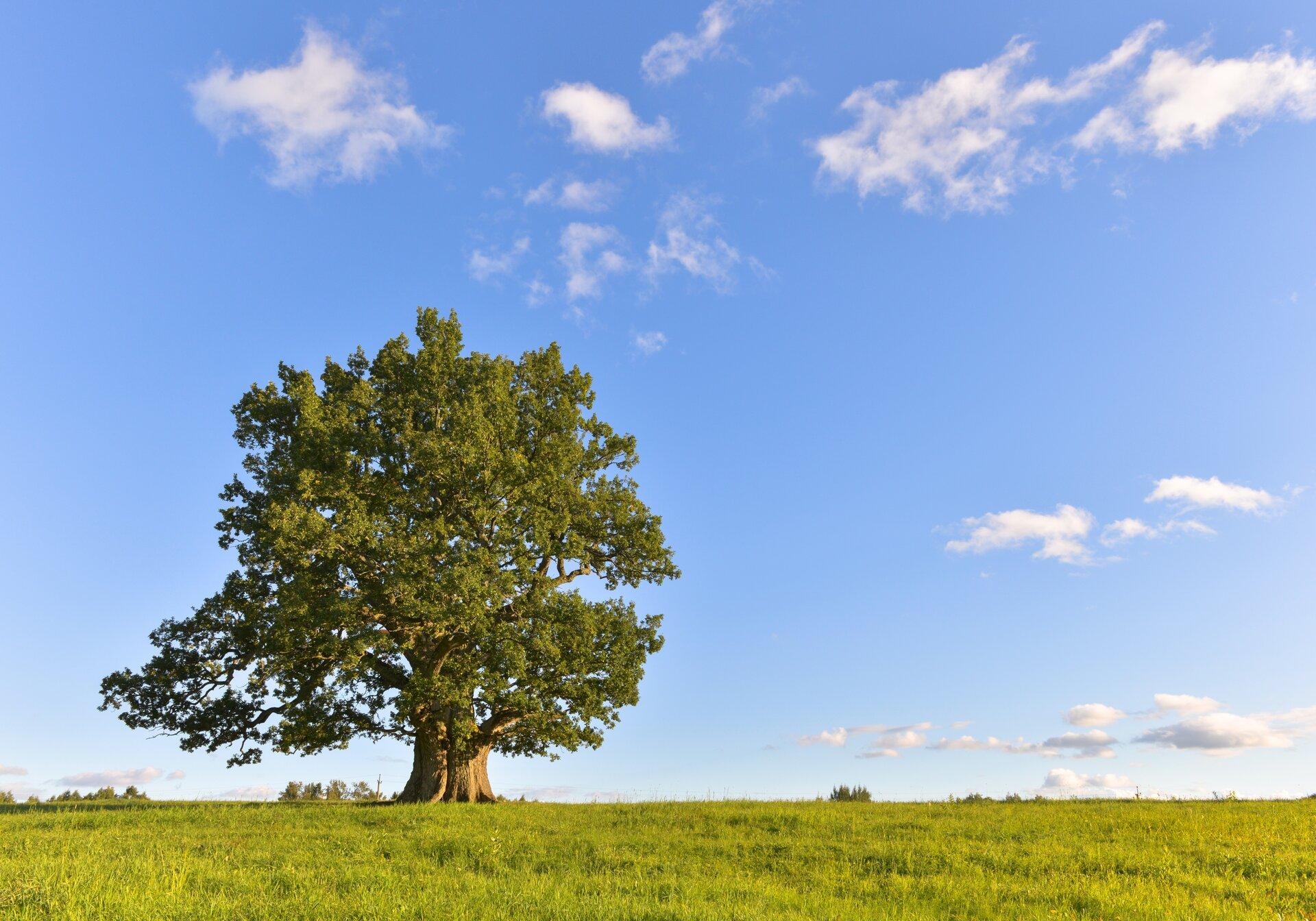 Fotografia przedstawia łąkę, na której znajduje się pojedyncze drzewo. Ma ono rozłożystą koronę. Gałęzie pokryte zielonymi liśćmi wyrastają na całej wysokości pnia.