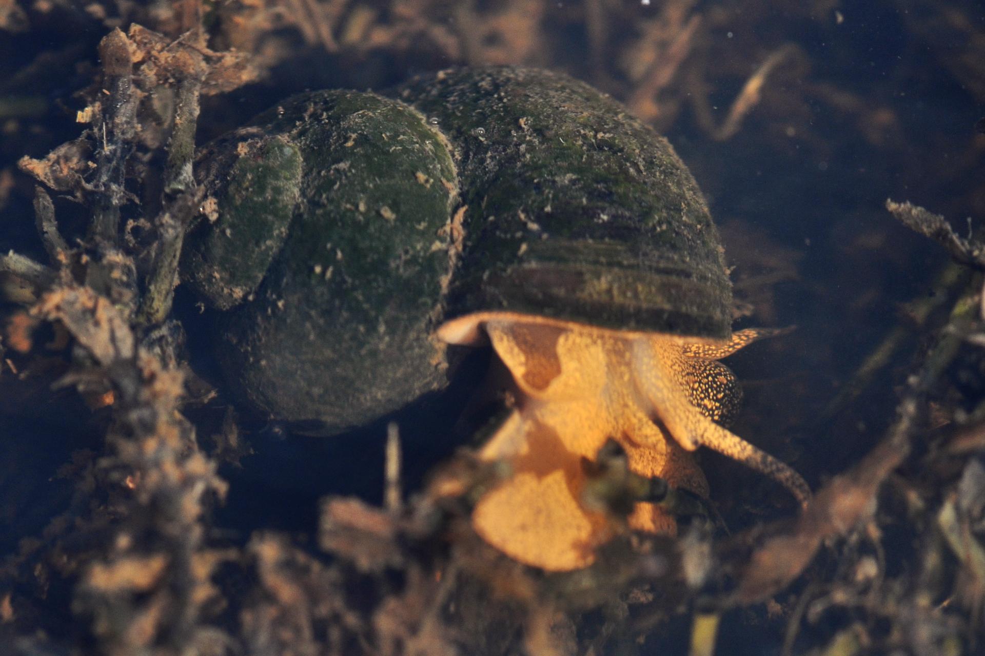 Wgalerii znajdują się fotografie przedstawicieli krajowych ślimaków. Fotografia przedstawia pomarańczowego ślimaka zciemną muszlą, pokrytą glonami. Ślimak znajduje się pomiędzy brunatnymi częściami roślin pod wodą. Głowę ma skierowaną wdół. To żyworódka rzeczna.