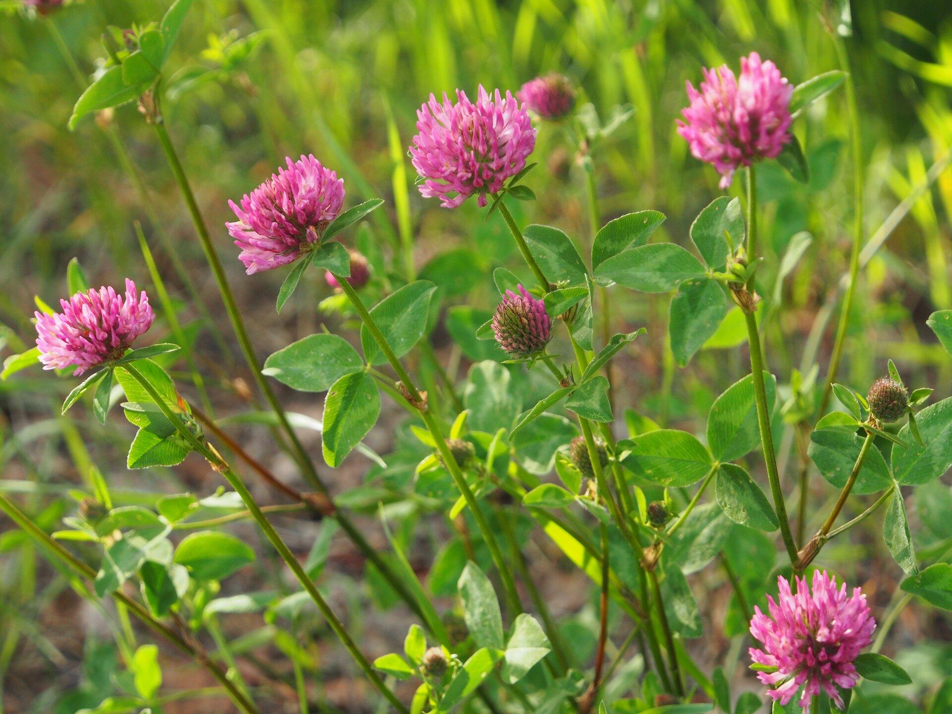 Fotografia przedstawia kępę różowo kwitnącej koniczyny łąkowej. Koniczyna ma trójdzielne, ciemnozielone liście. Łodygi wzniesione wysoko, na szczytach kuliste kwiatostany. Wokół inne, niekwitnące rośliny.