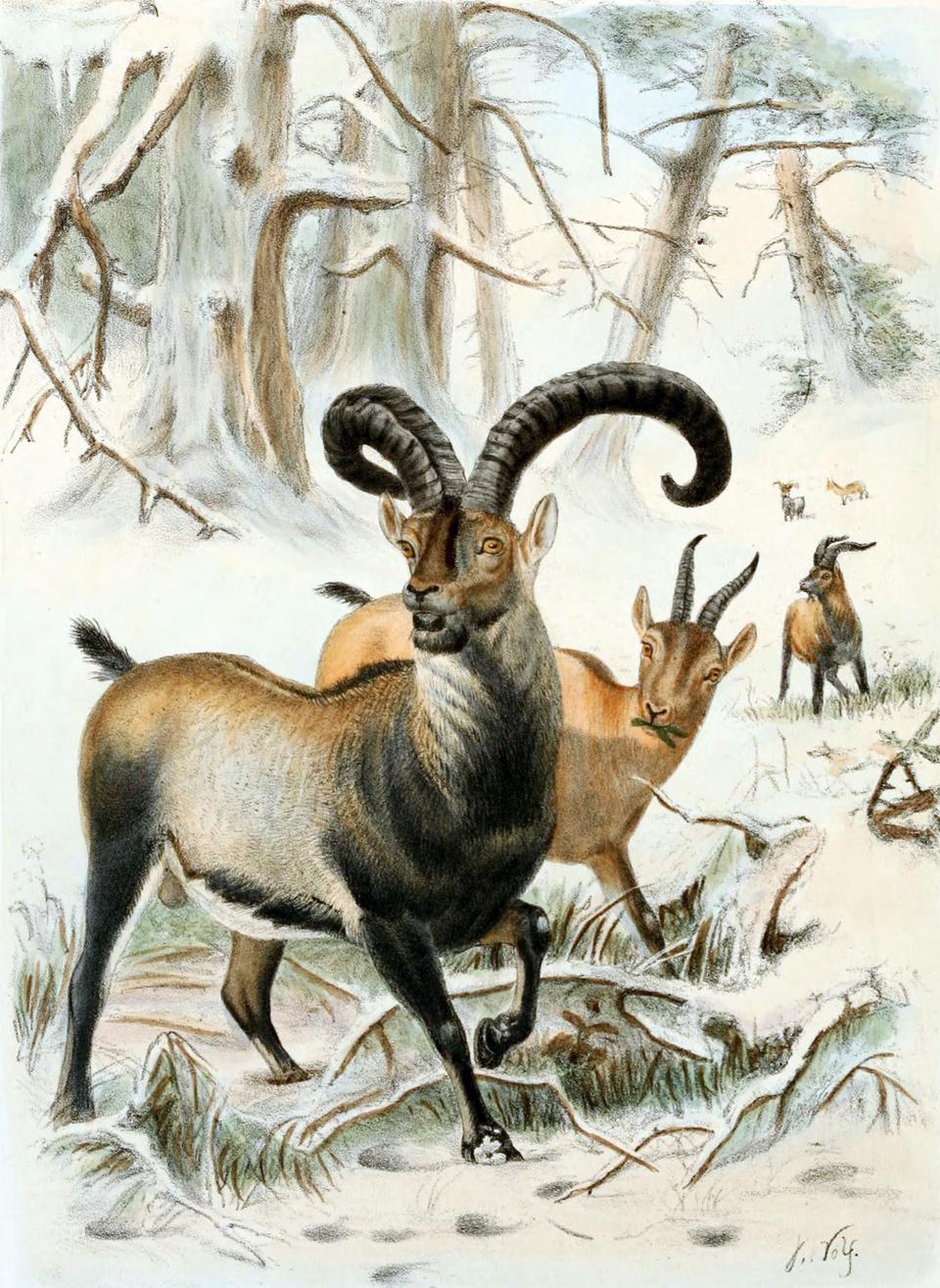 Ilustracja przedstawia wzimowym pejzażu leśnym trzy brązowe zwierzęta zrogami. Samiec na pierwszym planie ma ciemniej ubarwioną szyję, pierś inogi. Jego rogi są długie iwygięte. To koziorożec pirenejski, gatunek wymarły.