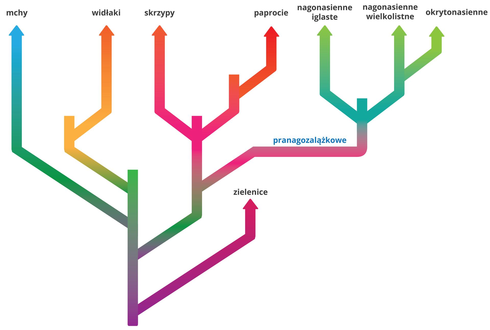 Ilustracja przedstawia drzewo rodowe rozgałęziające się na prawo ilewo. Upodstawy pnia są zielenice, których linia odchodzi wprawo jako organizmów współczesnych. Nieco wyżej wprawo odchodzi linia, która dzieli się najpierw na pranagozalążkowe, apotem na linie wiodące do skrzypów ipaproci. Pranagozalążkowe dzielą się na nagonasienne iglaste, nagonasienne wielkolistne, od których odchodzi linia di okrytonasiennych. Od głównego pnia wlewą stronę odchodzą linie najpierw do mchów, potem do widłaków.
