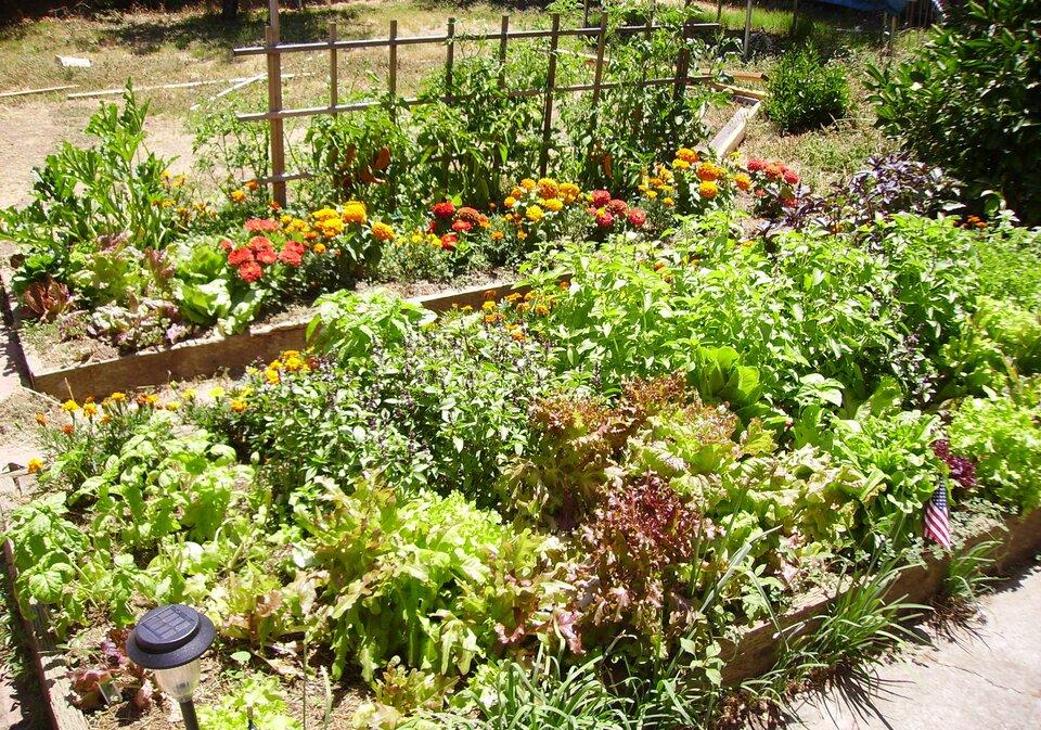 Fotografia prezentuje fragment ogródka działkowego zgrządkami żyznych warzyw zielonych.