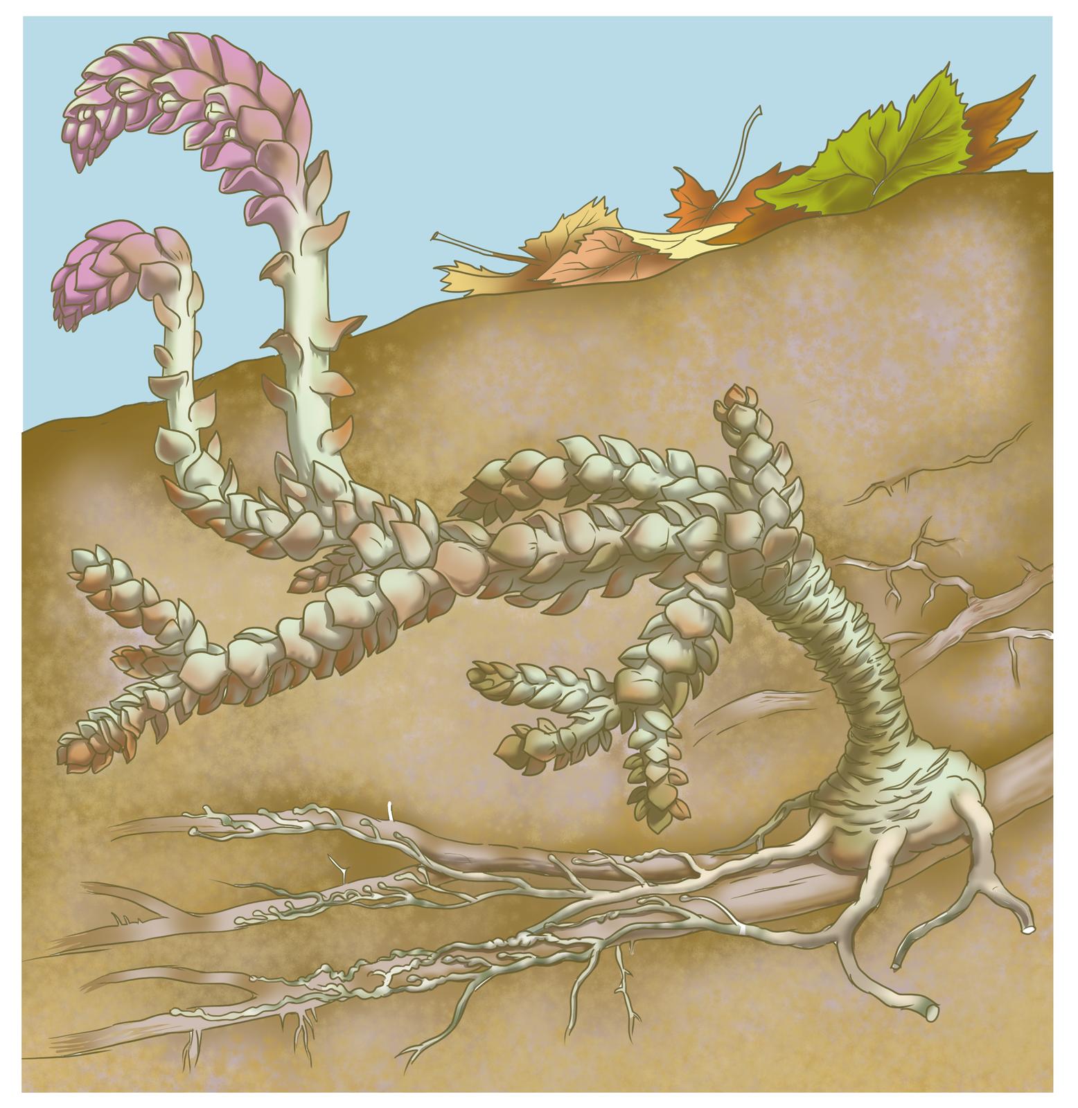 Rysunek przedstawia przekrój przez jasnobrązową glebę pod drzewem. Wziemi rośnie szary korzeń drzewa. Na nim wrośnięty pasożyt roślinny, łuskiewnik różowy. Łuskiewnik ma grubą łodygę iłuskowate, białawe liście. Wyrasta nad ziemię itam łuski są liliowe, amiędzy nimi drobne jasne kwiaty.