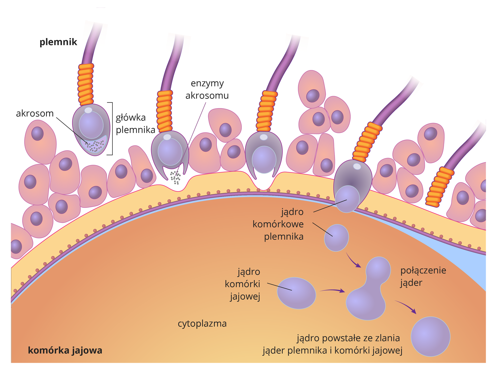 Ilustracja przedstawia beżową półkolistą komórkę jajową zgrubą błoną ililiowymi komórkami osłony. Nad nią fioletowo – pomarańczowo – liliowe plemniki. Przedstawiono sześć etapów wnikania plemnika do komórki jajowej. Wpierwszym zlewej plemnik zbliża się do komórki jajowej, podpisana główka plemnika iakrosom. Wdrugim etapie enzymy zakrosomu rozpuszczają osłonę komórki jajowej. Wtrzecim etapie plemnik przebija osłonę, do wnętrza komórki dociera tylko główka plemnika. Osłonka twardnieje, nie pozwalając innym plemnikom się przebić. Wczwartym etapie plemnik uwalnia swoje jądro komórkowe. Jądro komórki jajowej znajduje się wcytoplazmie. Wpiątym etapie następuje połaczenie jąder plemnika ikomórki jajowej. Witka plemnika odpada. Wszóstym etapie zpołączonych jąder powstaje jądro nowej komórki - zarodka.
