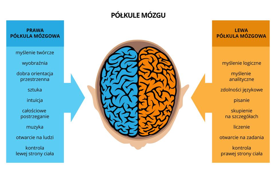 Ilustracja przedstawia zgóry mózg wsylwetce głowy. Niebieski kolor oznacza prawą półkulę, nadzorującą lewą stronę ciała. Jej funkcje to: kreatywność, intuicja, orientacja przestrzenna, całościowe postrzeganie, otwarcie na ludzi. Żółty kolor oznacza lewą półkulę, kontrolującą prawą połowę ciała. Jej funkcje to: myślenie logiczne ianalityczne, pisanie, liczenie, zdolności językowe, skupienie na szczegółach, zadaniowość.