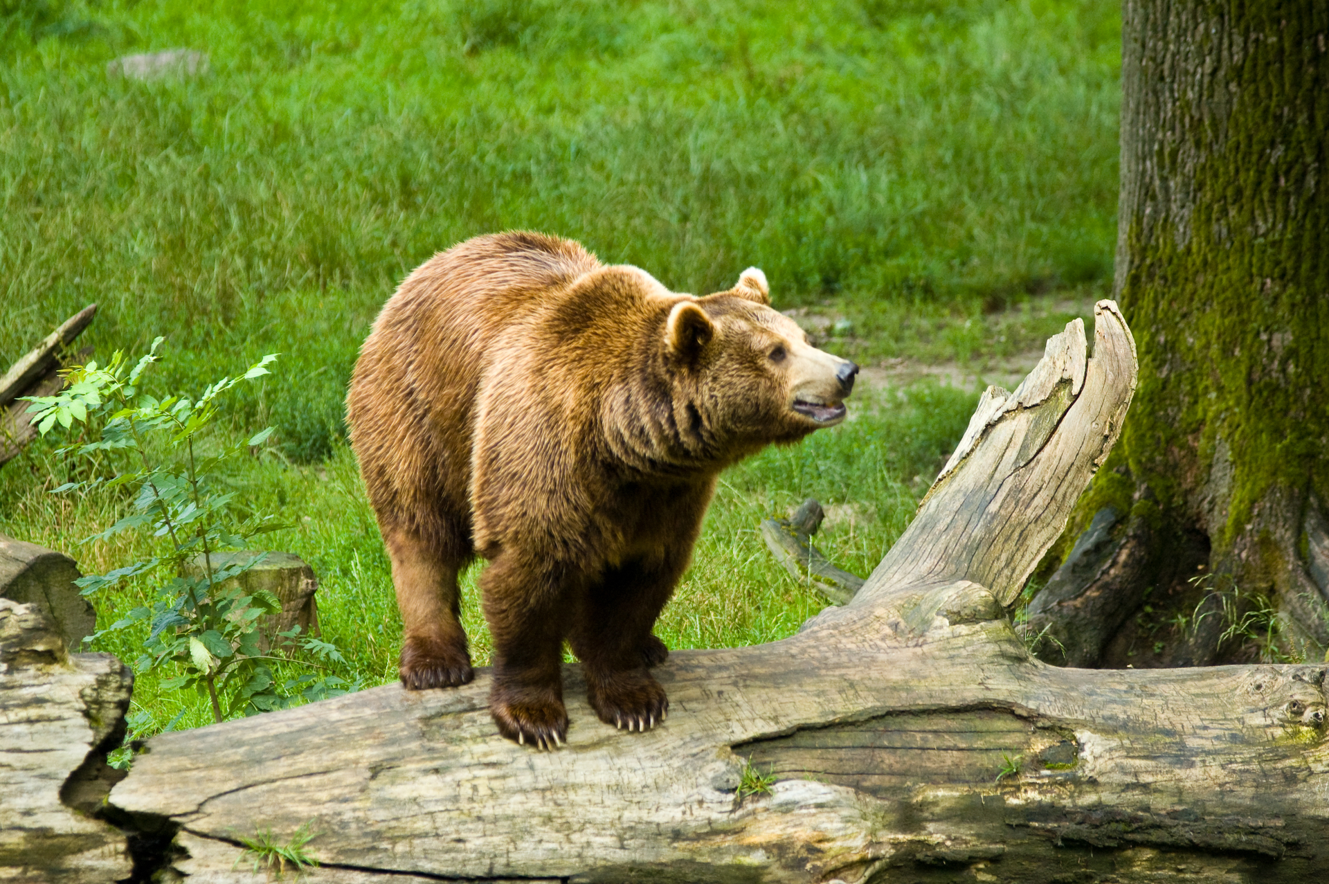 Fotografia prezentuje niedźwiedzia brunatnego, stojącego na pniu drzewa na tle łąki.