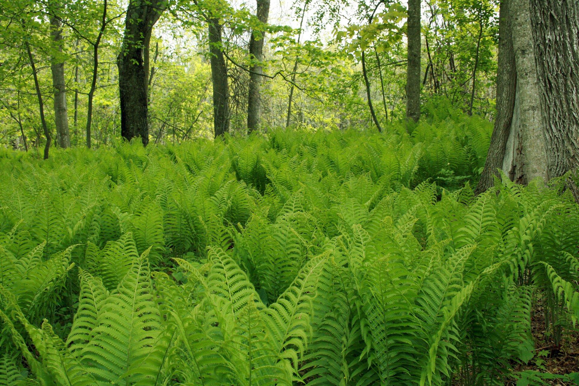Fotografia przedstawia las, wktórym rośnie wiele zielonych paproci. Rosną one wcieniu drzew, czyli są cienioznośne.