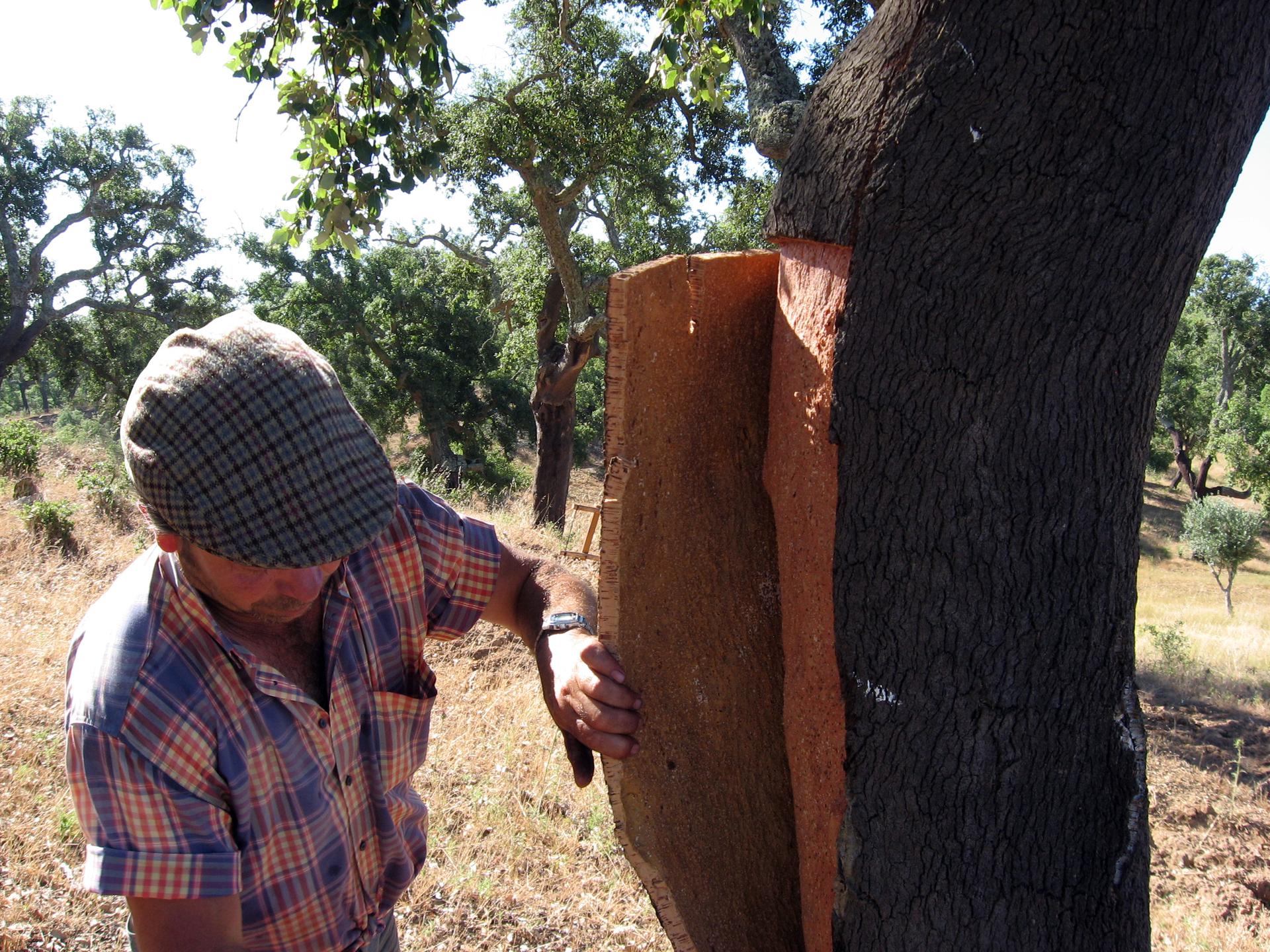 Fotografia prezentuje mężczyznę, który zdejmuje wycięty, prostokątny płat kory zpnia dębu korkowego.