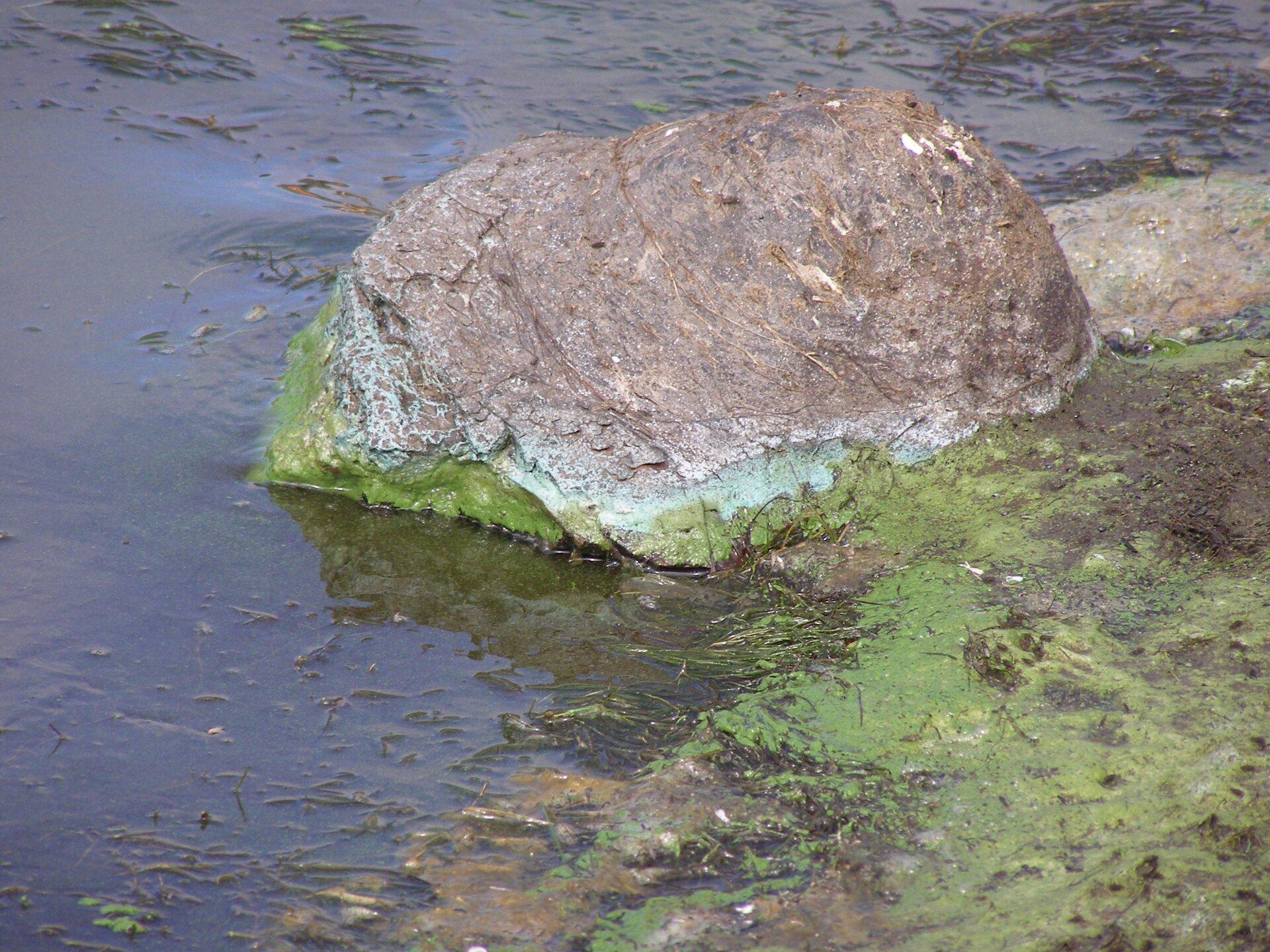 Fotografia przedstawia brzeg zbiornika wodnego. Po prawej stronie skała częściowo zanurzona wwodzie. Na niej, na granicy wody ipowietrza zielony nalot glonów.