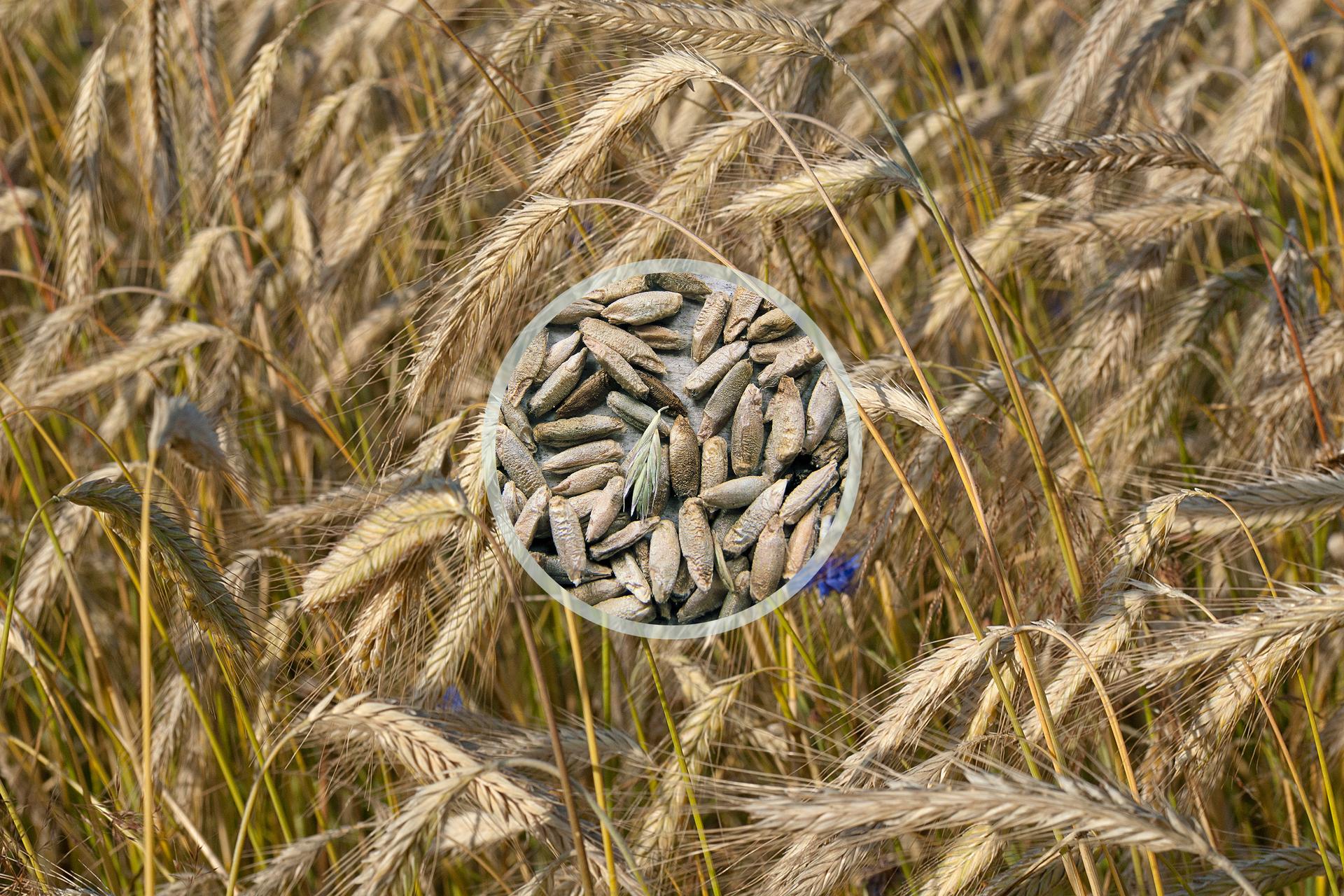 Fotografia przedstawia łan żyta. Ukazano pochylone kłosy zlicznymi nasionami zośćmi. Wcentrum nałożone zbliżenie szarych, podłużnych ziaren.