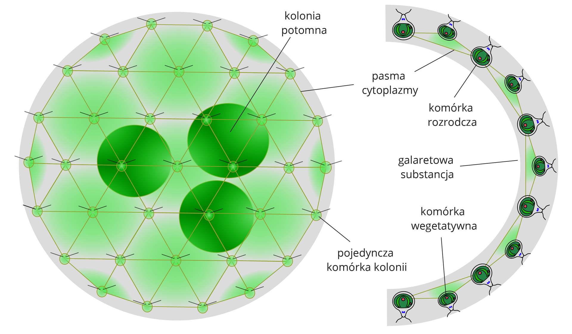 Ilustracja przedstawia schemat budowy kolonii toczka