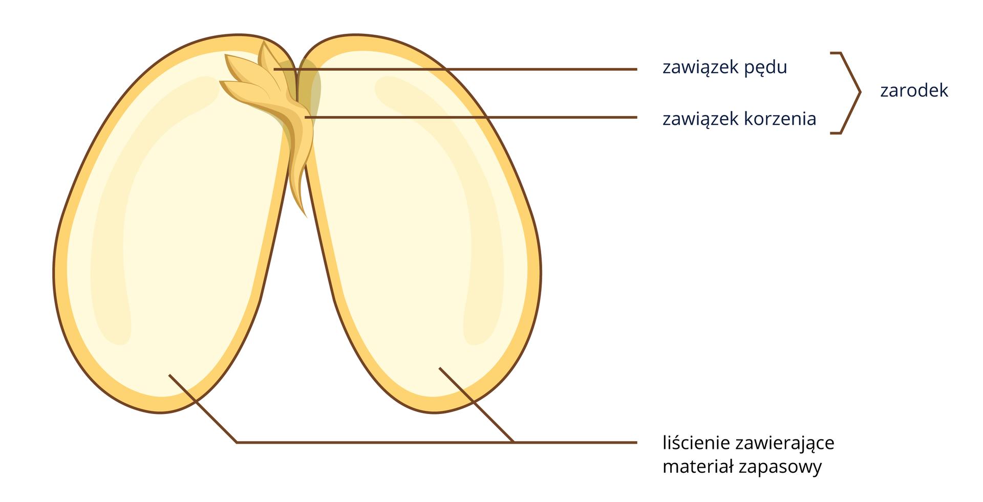 Budowa nasiona fasoli. Nasiono jest rozcięte. Wierzchnia warstwa to łupina nasienna. Pod spodem znajduje się bielmo, które stanowi większą część nasiona. Na górnym końcu znajduje się zarodek, zktórego rozwinie się młoda roślina.