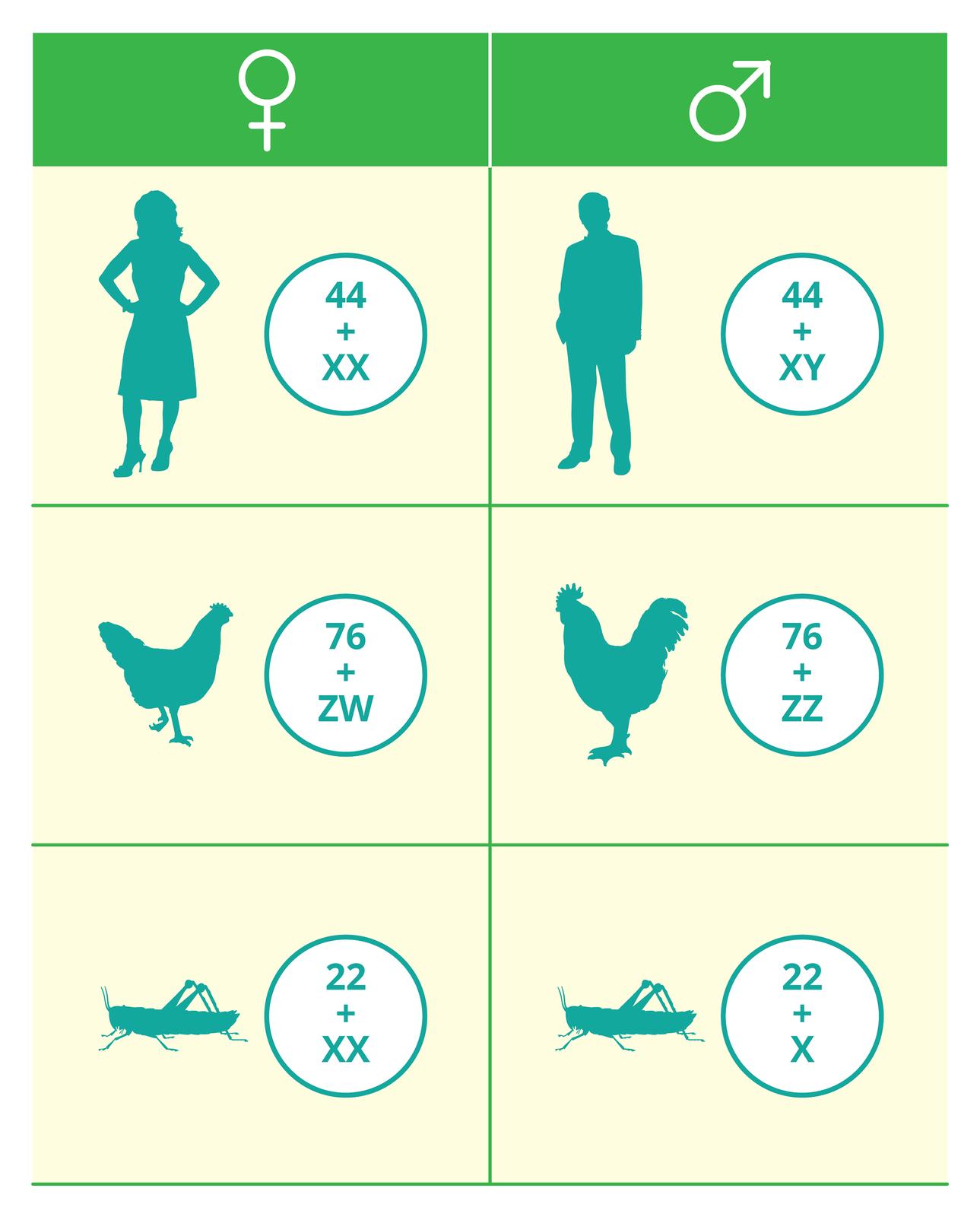 Ilustracja przestawia wformie tabeli sposób określania płci utrzechgatunków. Obok ich sylwetek wkółkach zapisano ilość chromosomów. Wtytule tabeli lewa kolumna znak płci żeńskiej, prawa znak płci męskiej. Pierwszy wiersz kobieta 44 + XX, mężczyzna 44 + XY. Drugi wiersz kura 76 + ZW, kogut 76 + ZZ. Udołu pasikonik samica 22 + XX, samiec 22 + X.