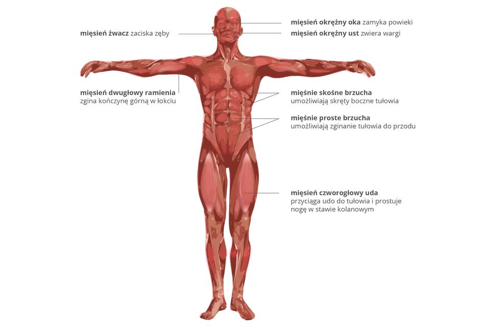 Wgalerii znajdują się trzy plansze zobrazem mięśni szkieletowych. Ilustracja przedstawia człowieka, stojącego zrozłożonymi rękoma. Ukazano czerwone mięśnie wujęciu od przodu. Podpisano mięśnie wraz zich funkcją. Na czaszce zprawej od góry: mięsień okrężny oka zaciska powieki. Mięsień okrężny ust zwiera wargi. Zlewej mięsień żwacz zaciska zęby. Na ręce: mięsień dwugłowy ramienia zgina kończynę włokciu. Na tułowiu: mięśnie skośne brzucha umożliwiają skręty tułowia. Mięśnie proste brzucha umożliwiają skłon wprzód. Na nodze: mięsień czworogłowy uda przyciąga udo do tułowia iprostuje nogę wstawie kolanowym.