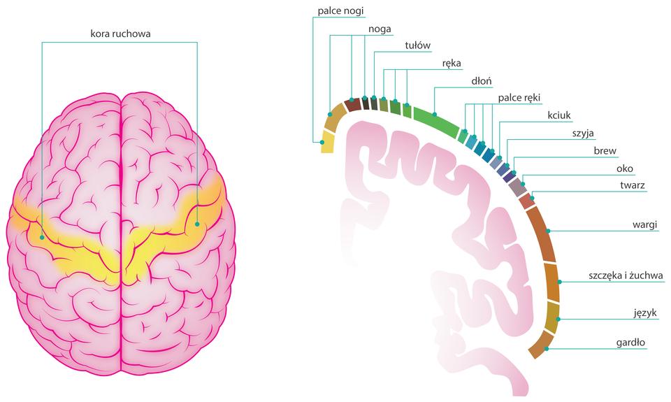 Ilustracja przedstawia zlewej różowy mózg zgóry. Żółty pas przez środek oznacza korę ruchową. Zprawej delikatny różowy zarys kory mózgowej , obok kolorowe odcinki symbolizują narządy. Są to głównie kończyny, palce, części twarzy, szyja, język. Kora mózgowa kieruje ich świadomymi ruchami.