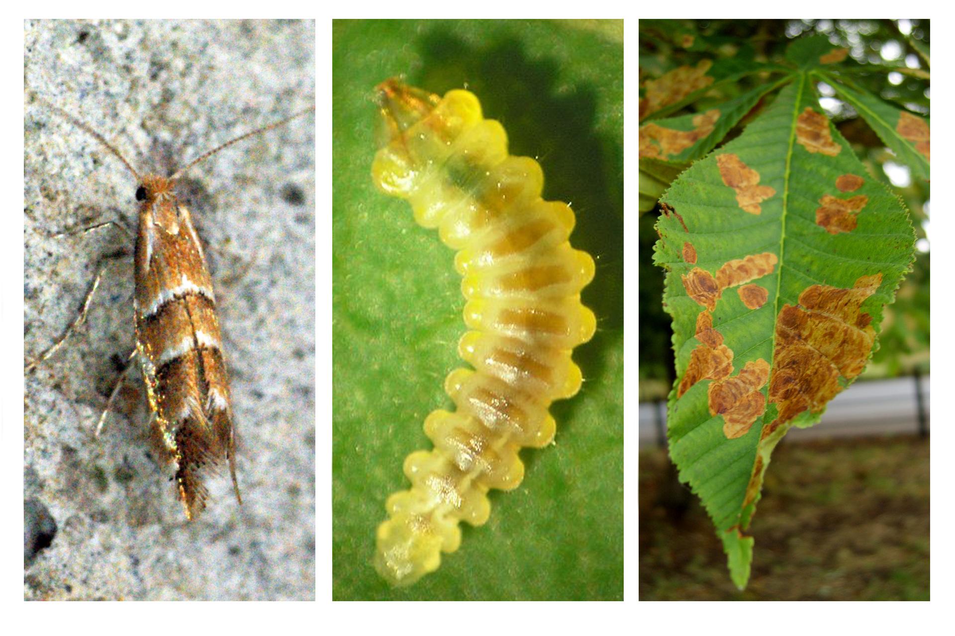Fotografia zlewej przedstawia smukłego, wbrązowe ibiałe pasy owada szrotówka kasztanowcowiaczka. Wśrodku fotografia jego podłużnej, żółtej larwy na liściu. Po prawej wzbliżeniu liść kasztanowca zbrązowymi plamami.